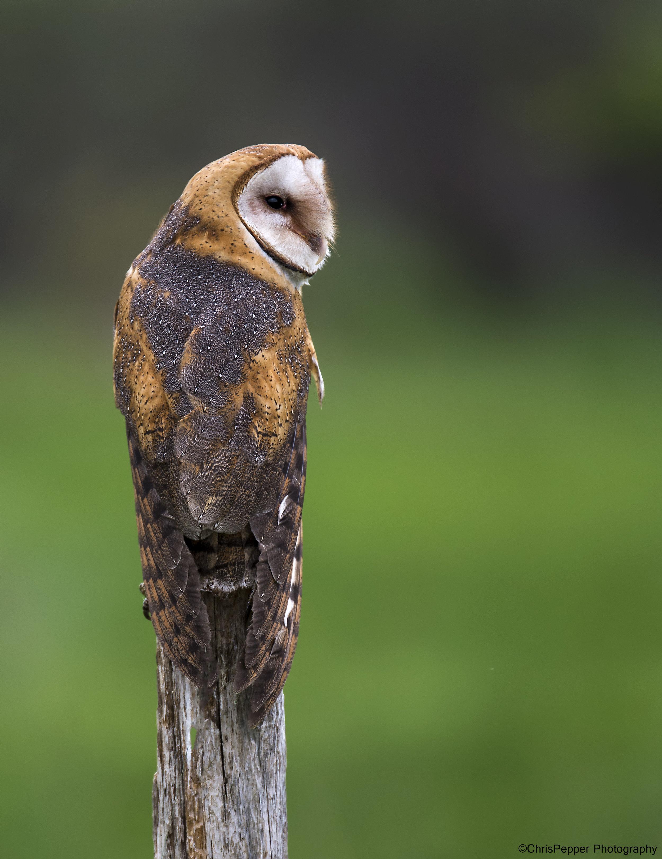 Female barn owl 1.jpg