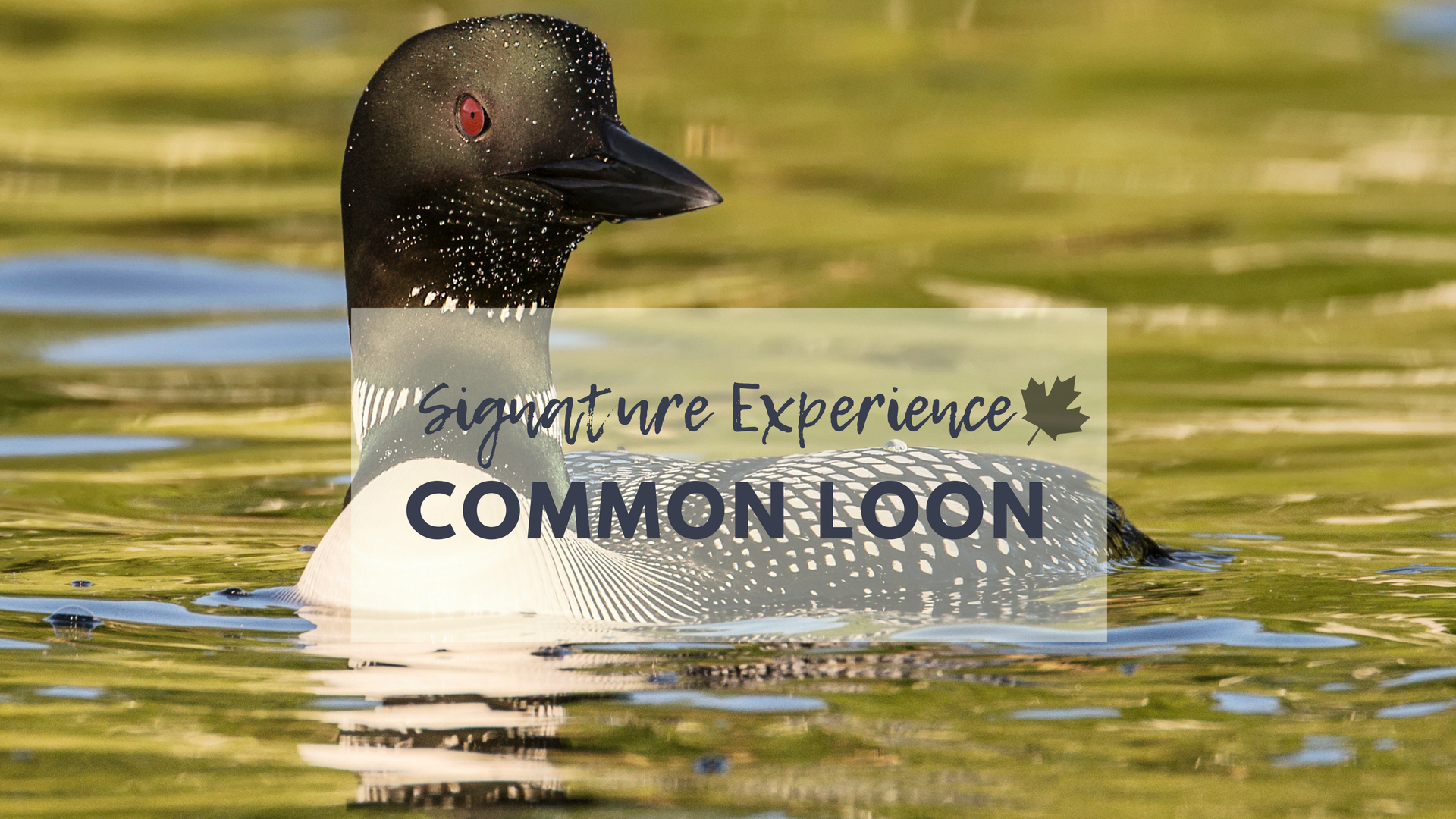 North of 49 Signature common loon photography workshop - MULTIPLE DATES AVAILABLE THROUGH OUT THE SUMMER SEASON