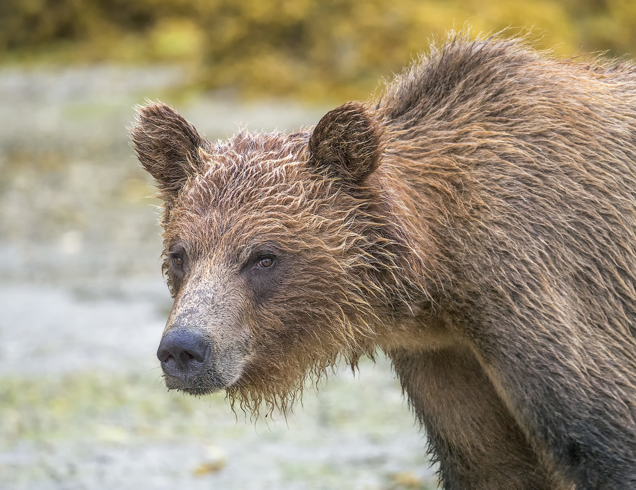 BC Grizzly Bear - Chris Pepper Photography