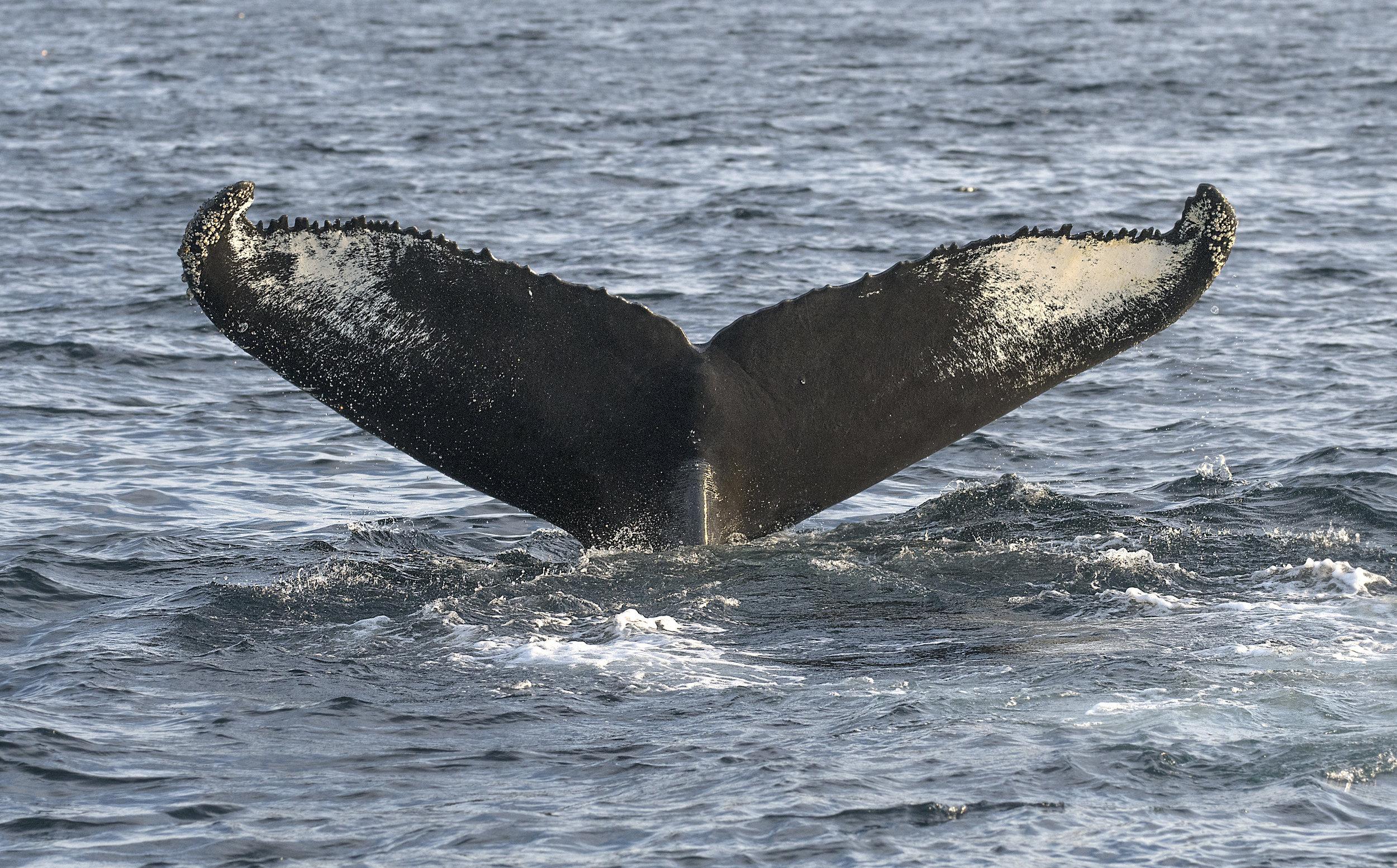 Humpback Whale - Chris Pepper