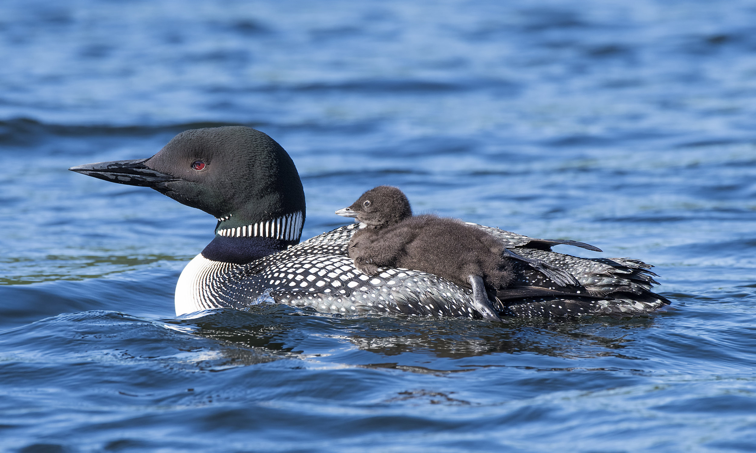 loon chick on the back .jpg