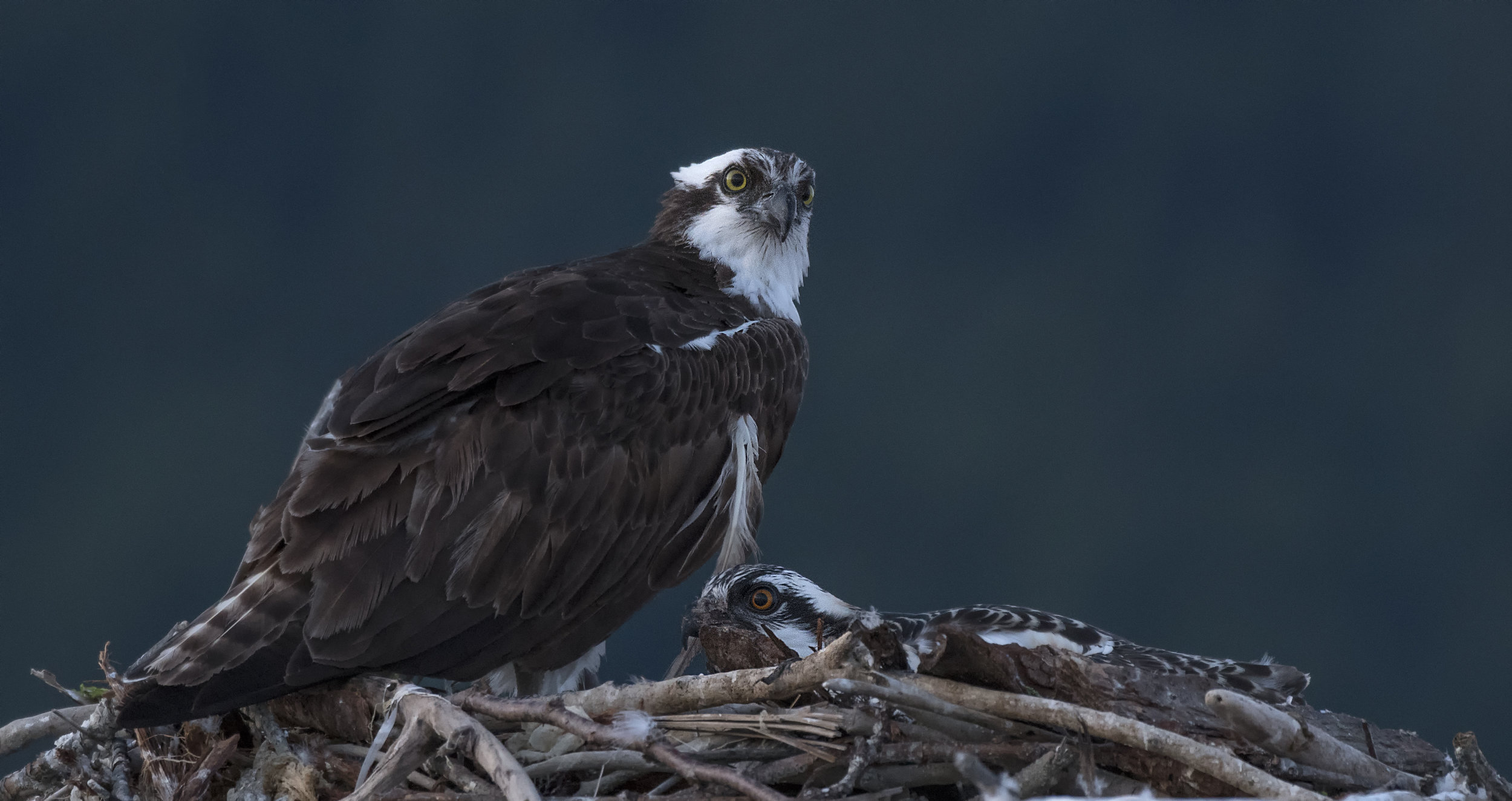 Osprey photo tours Canada