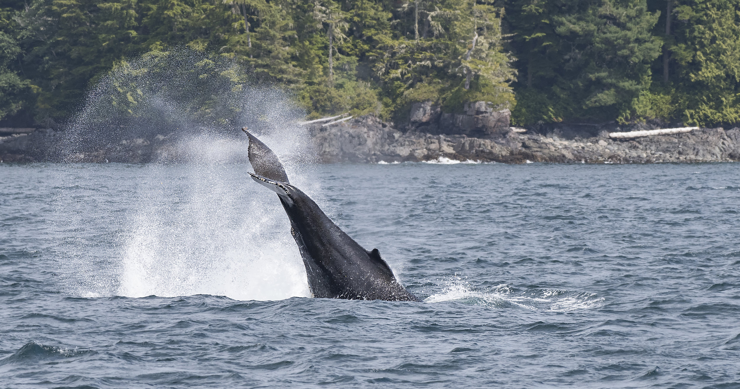 Humpback lobtailing north island.jpg