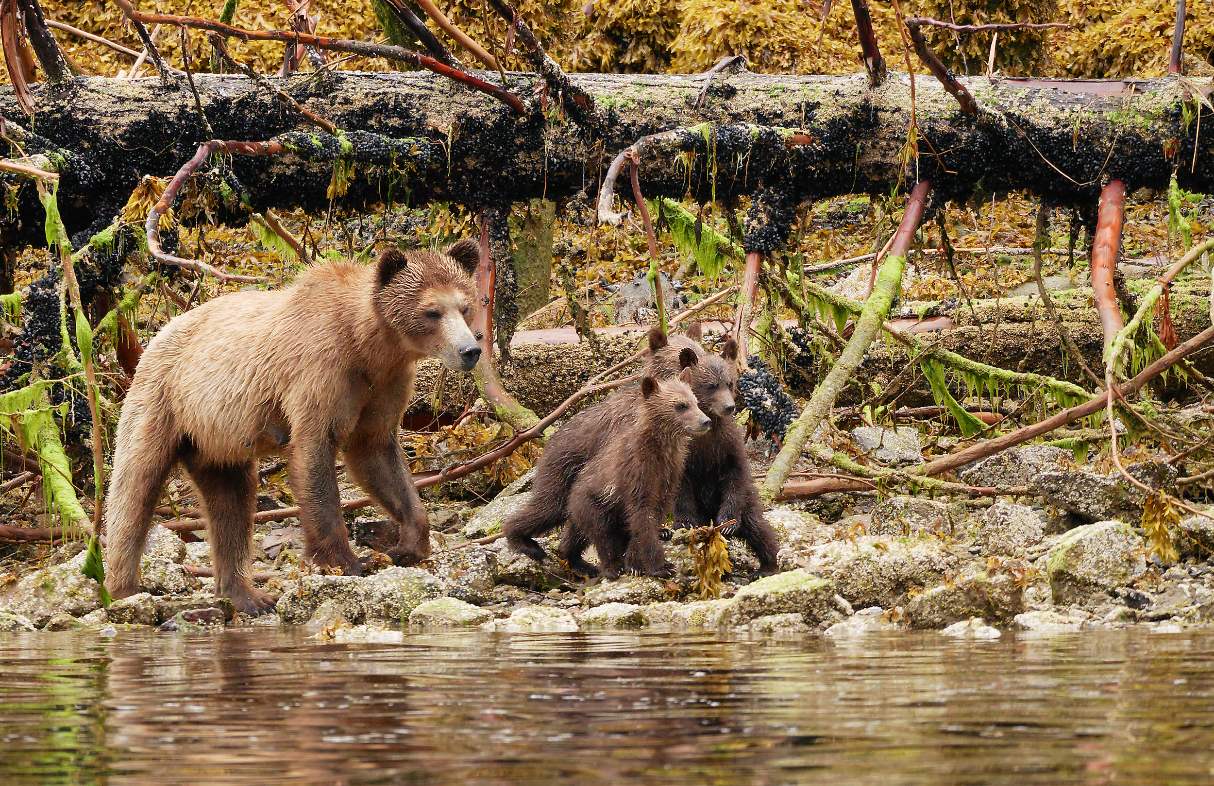 Three little bears and momma .jpg