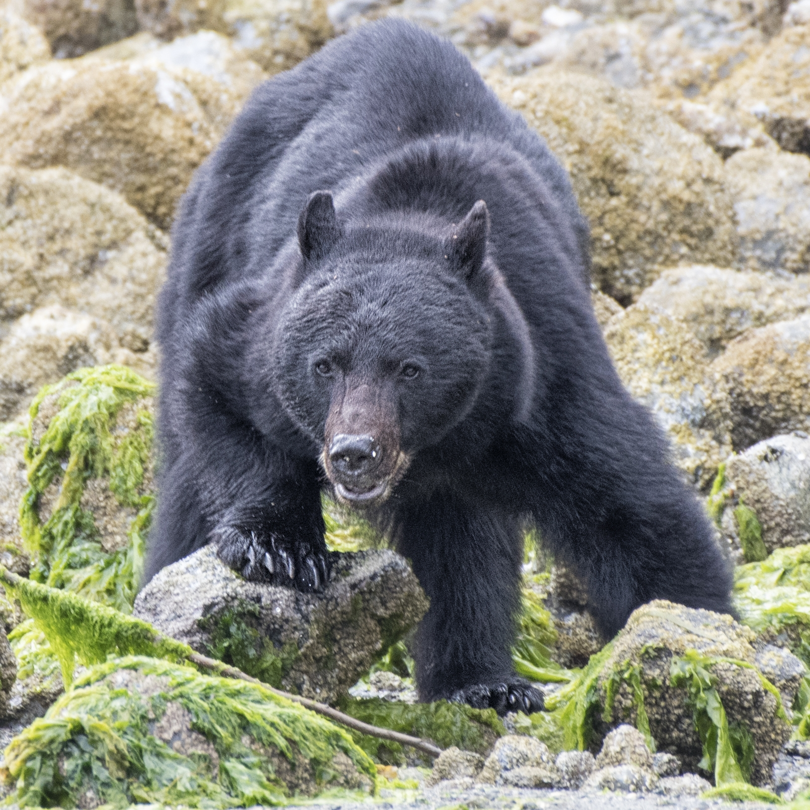 Black bear photography workshops