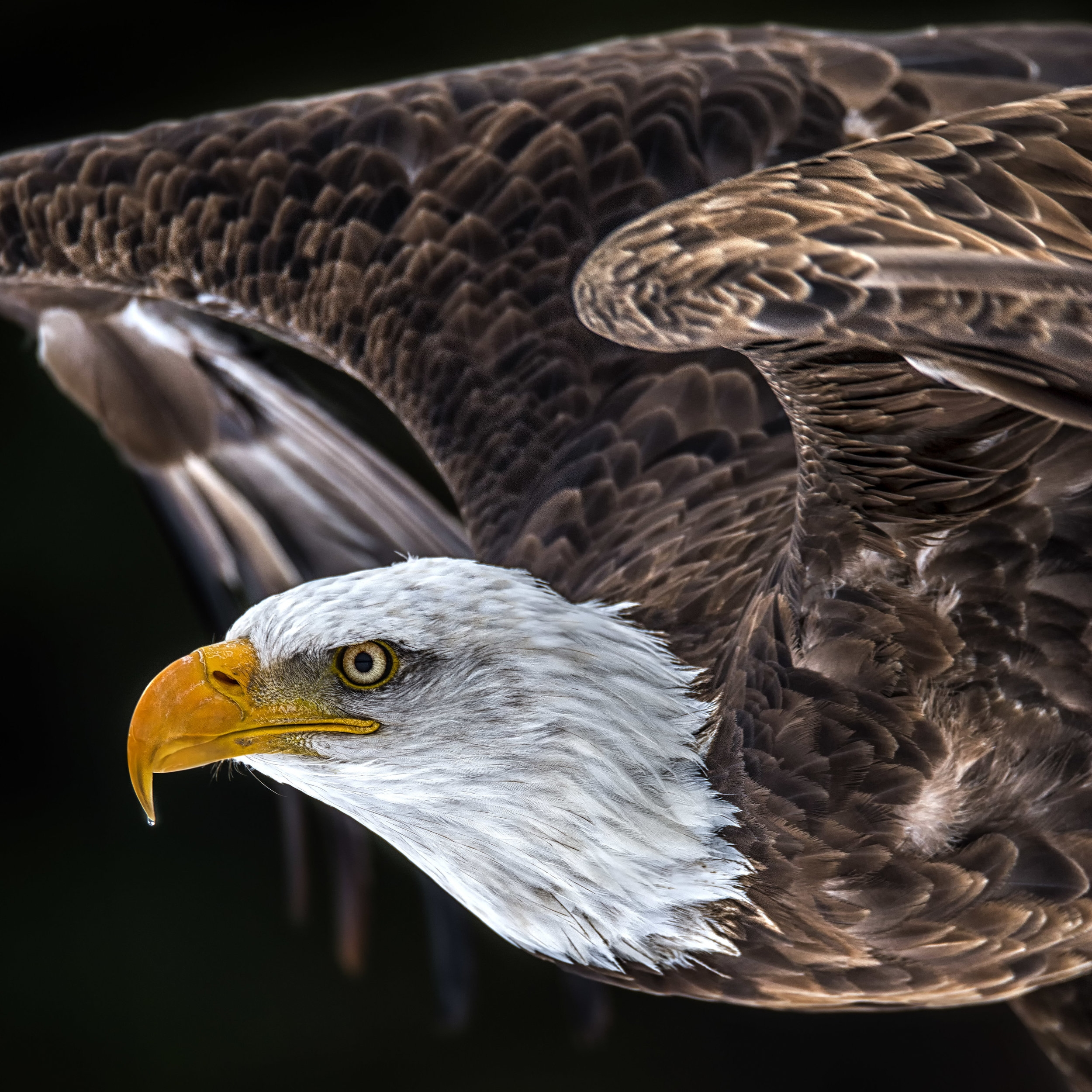 Bald Eagle Photography Workshops