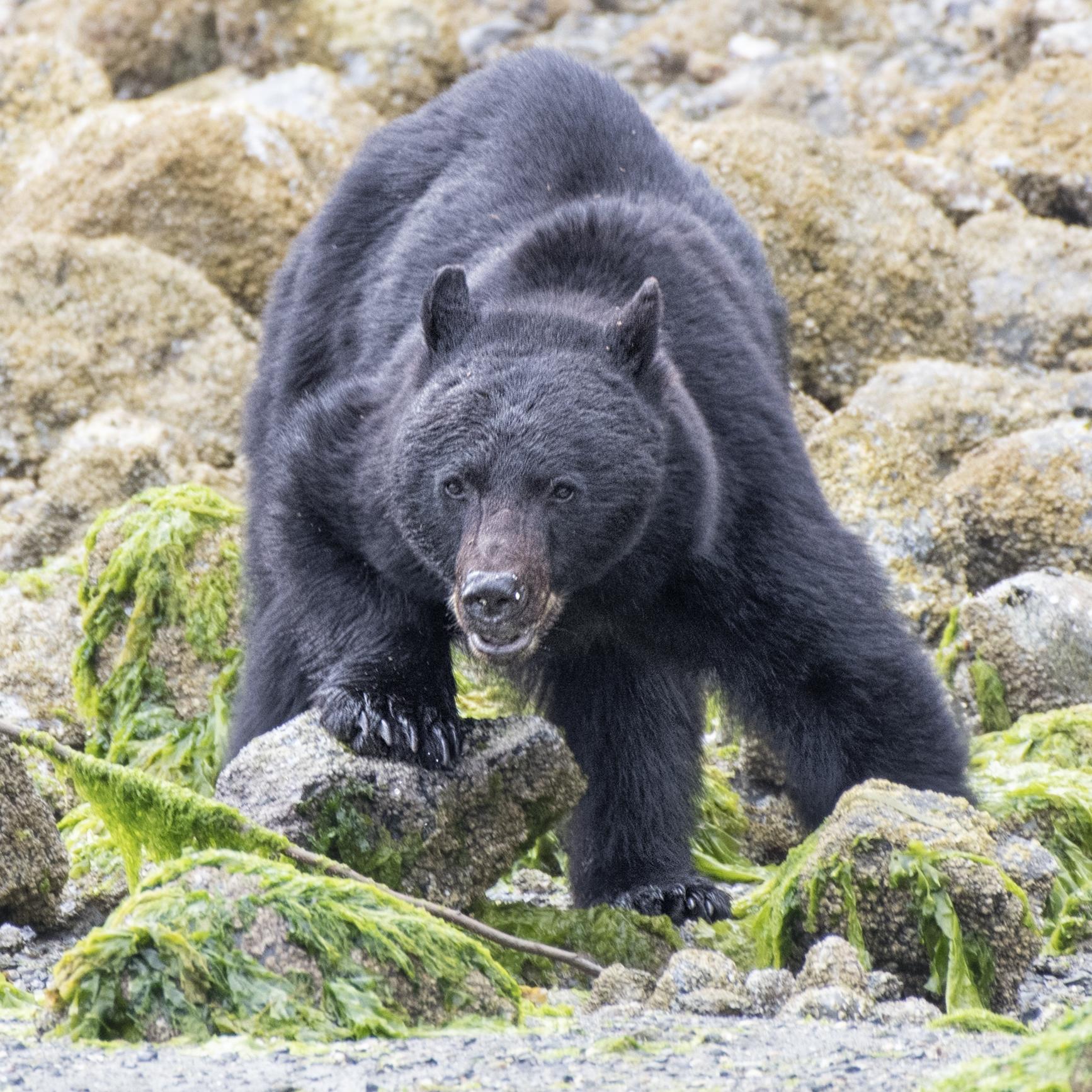 black bear big eyes .jpg