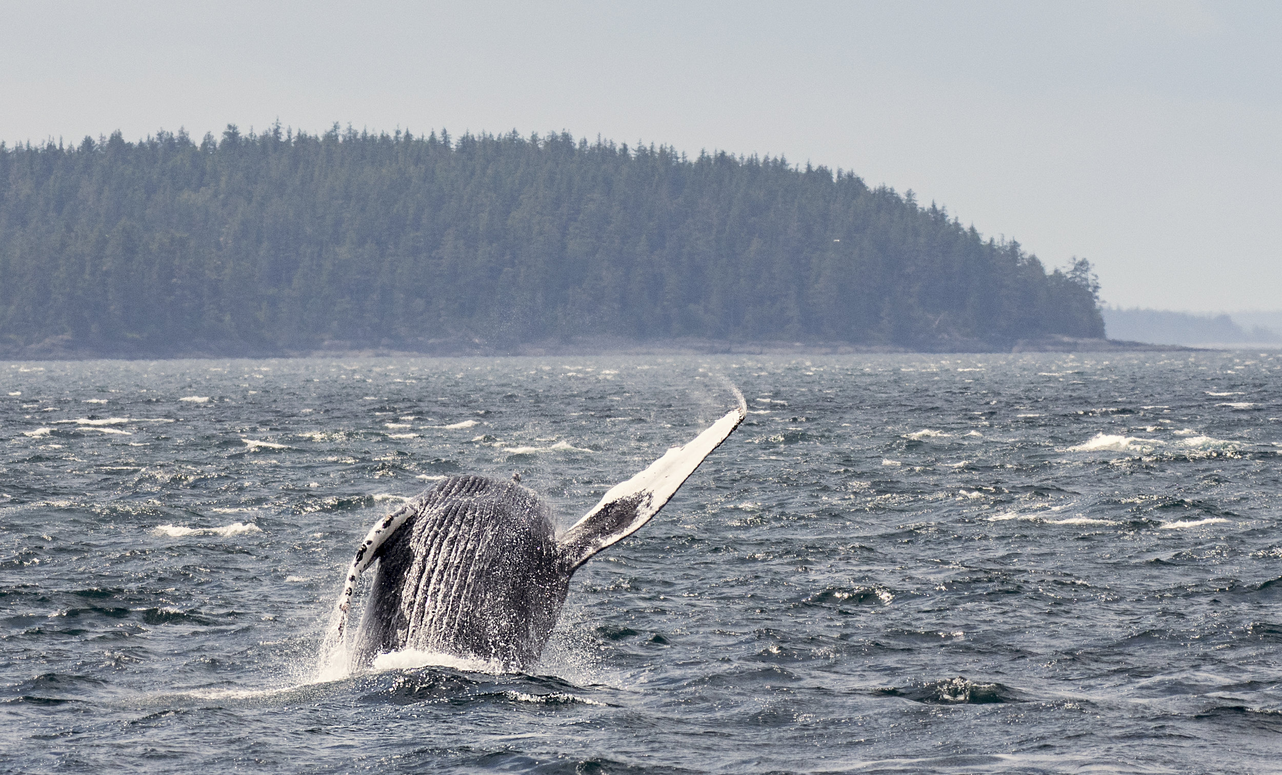 Humpback breaching and waving hello