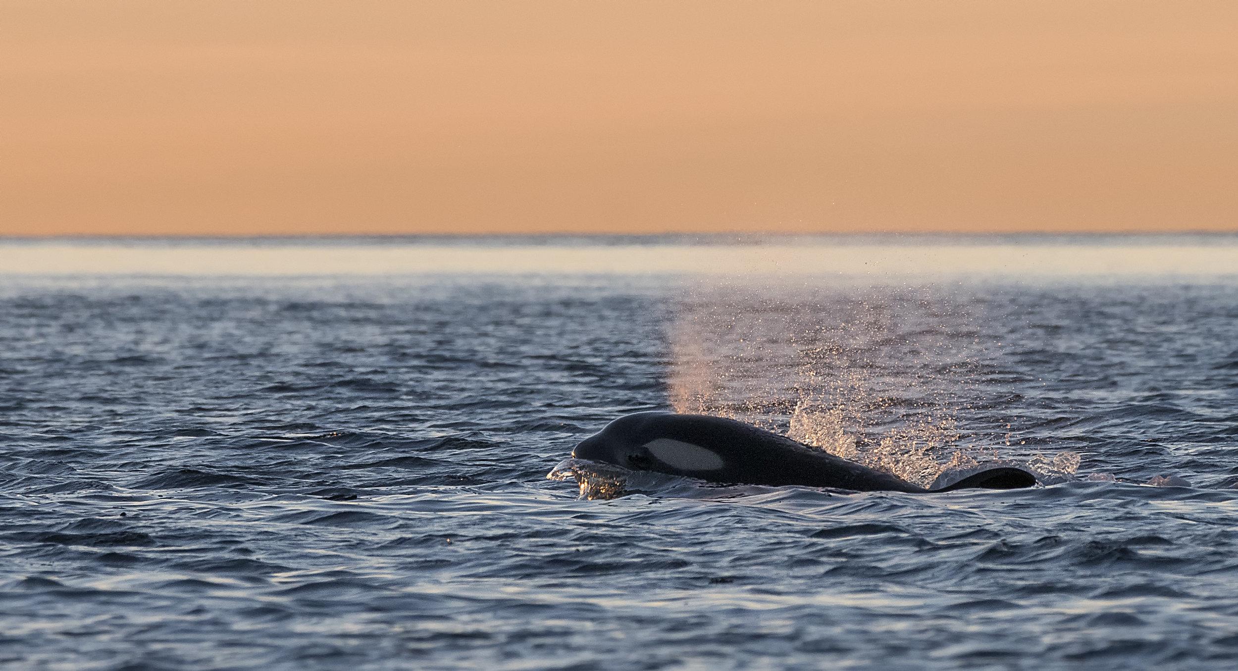 Orca in golden light