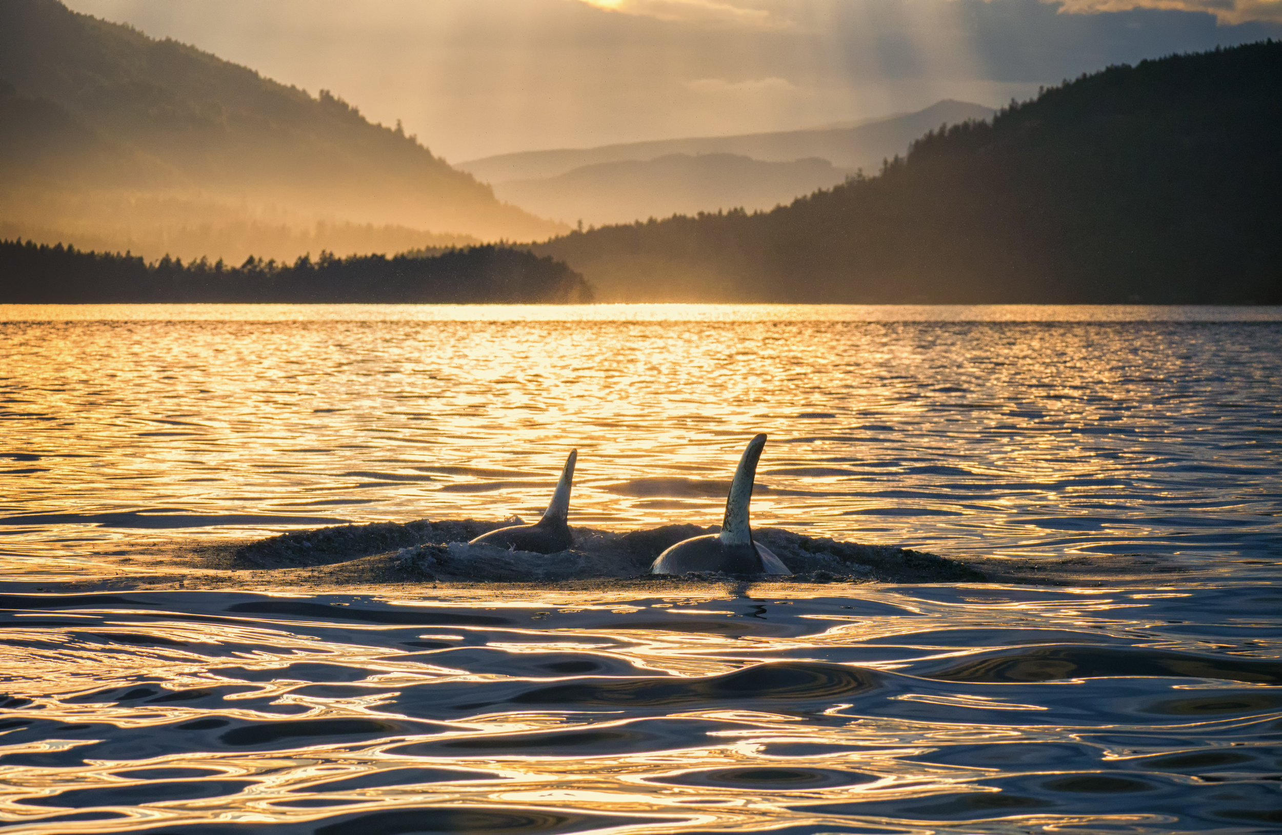 Orcas swim off into the golden sunset