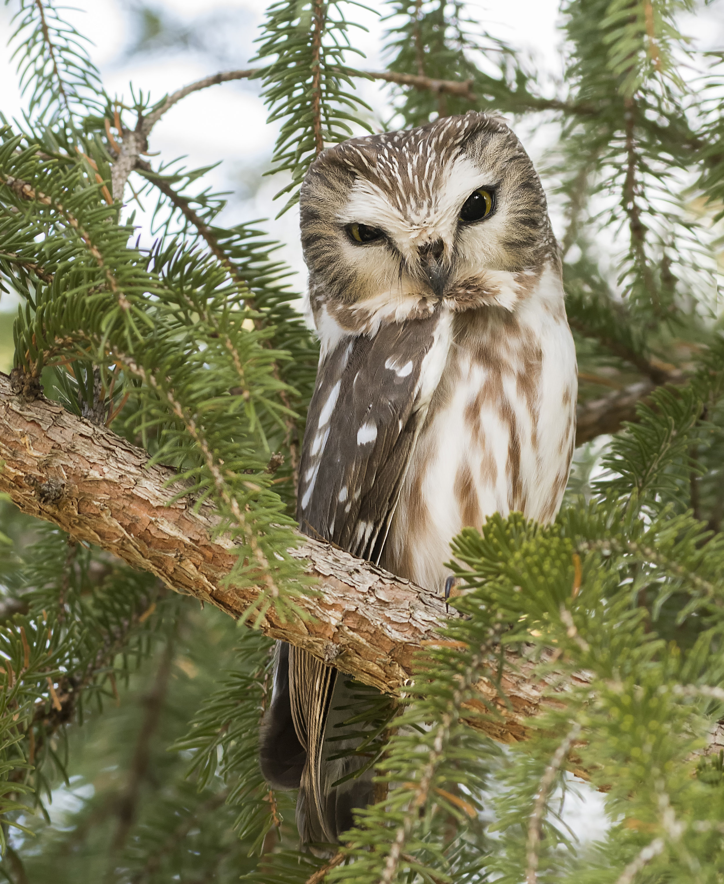 Saw whet owls in Ontario