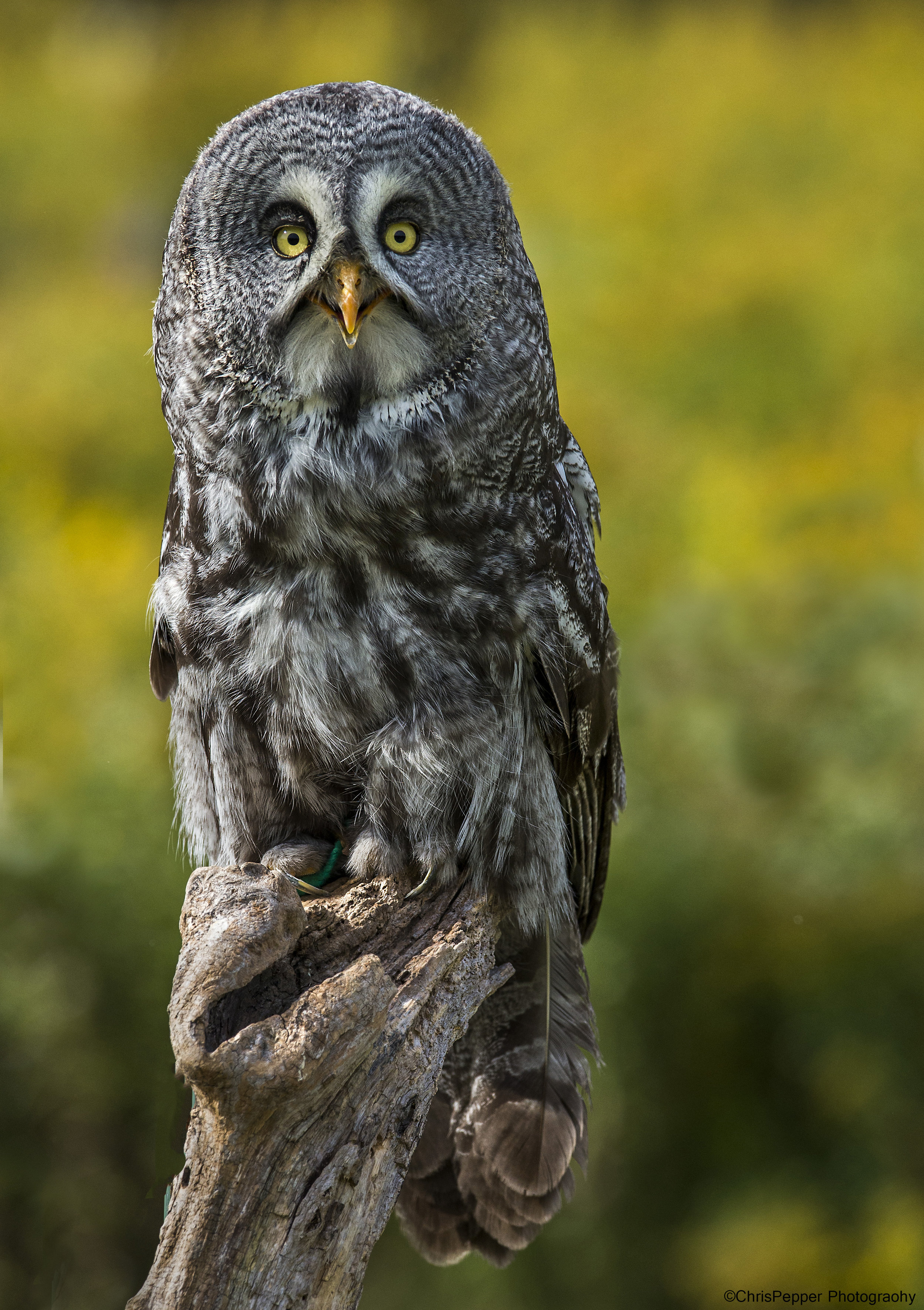 Great Grey photo tours in Canada