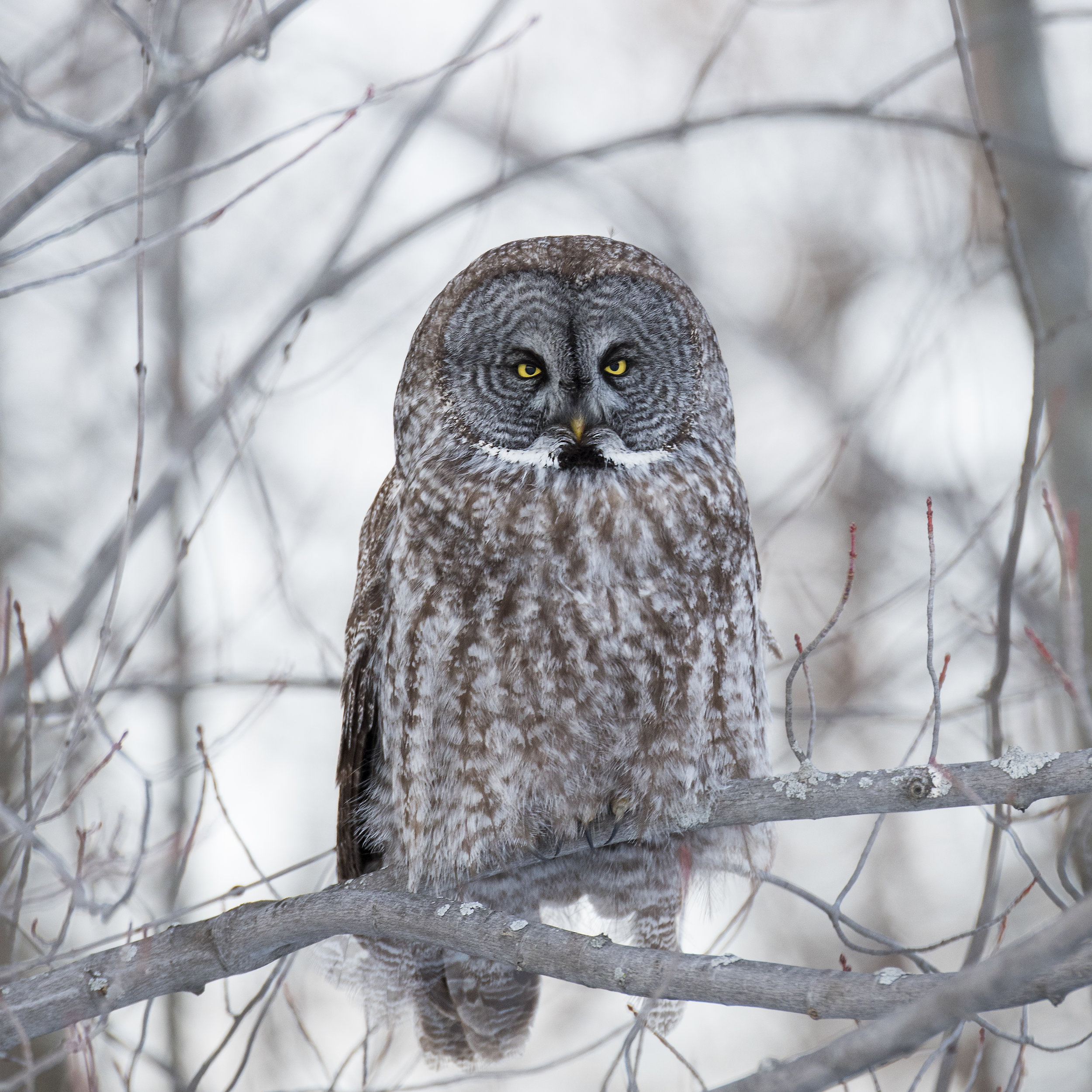 Great Grey in the winter
