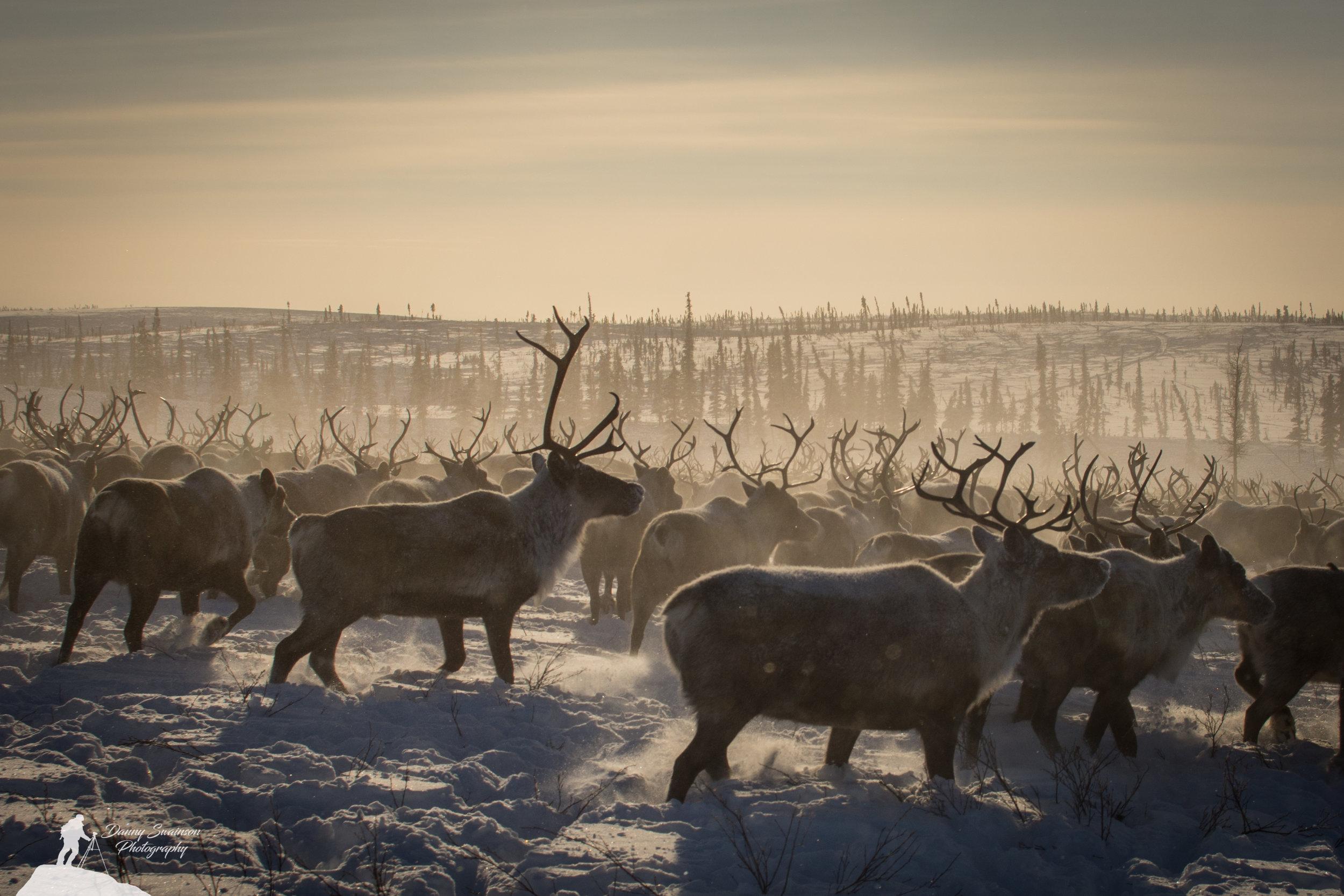 Northwest Territories Reindeer Migration