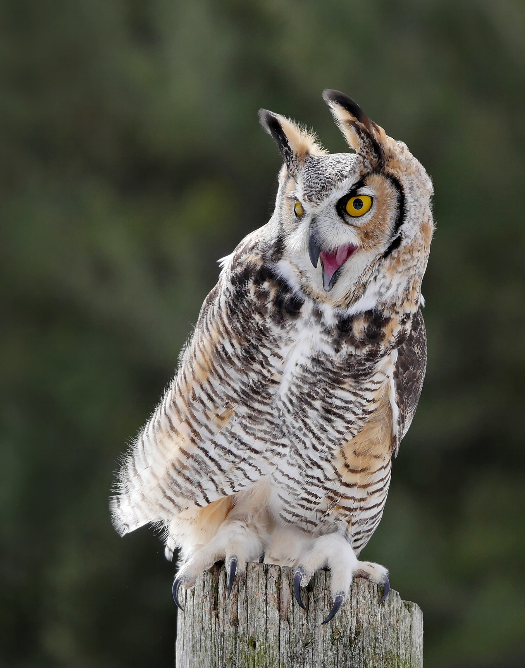 Great Horned Owl - Great horned owls have a very distinct call, they are very active hunters in the winter and look for a mate in the late winter to spring. Here we can find them near their nesting areas watching us from above.