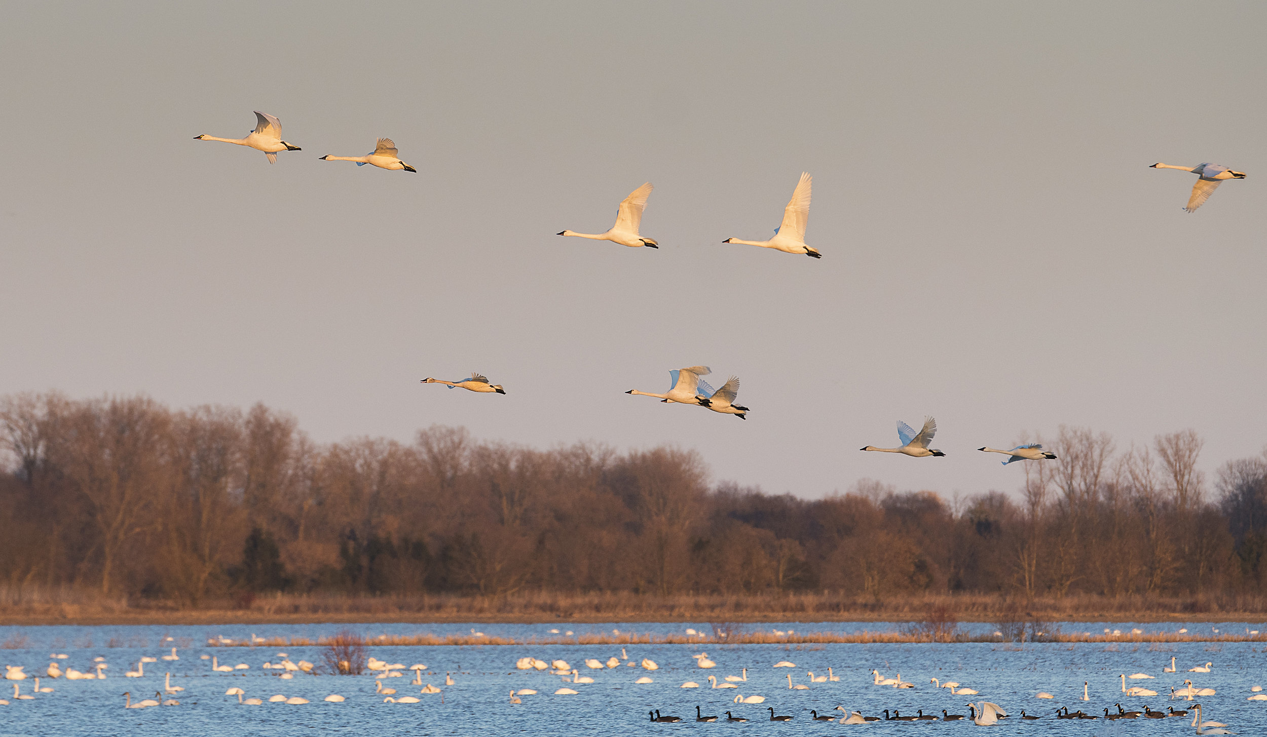 Tundra Swans flying over the ponds.jpg