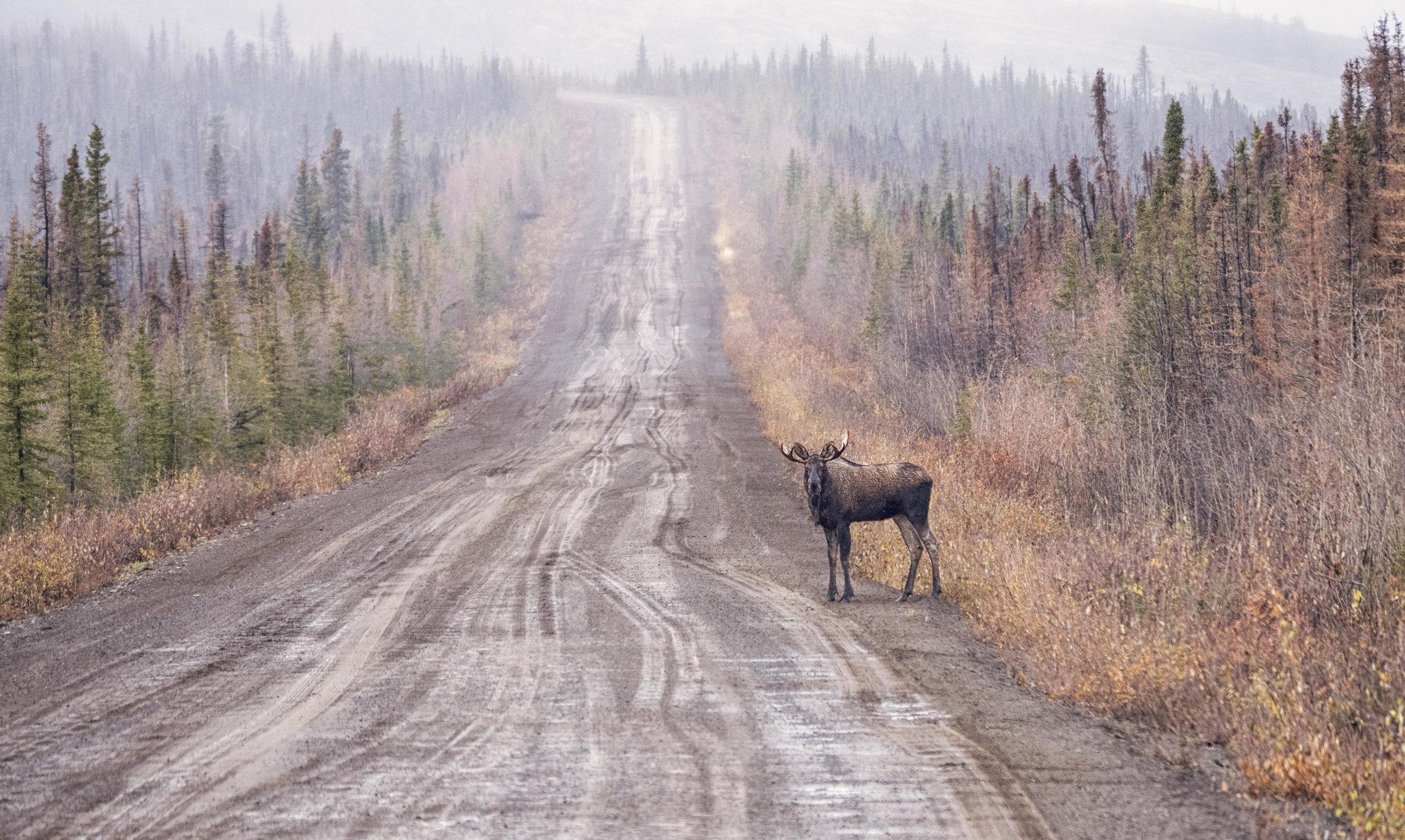 Dempster moose.jpg