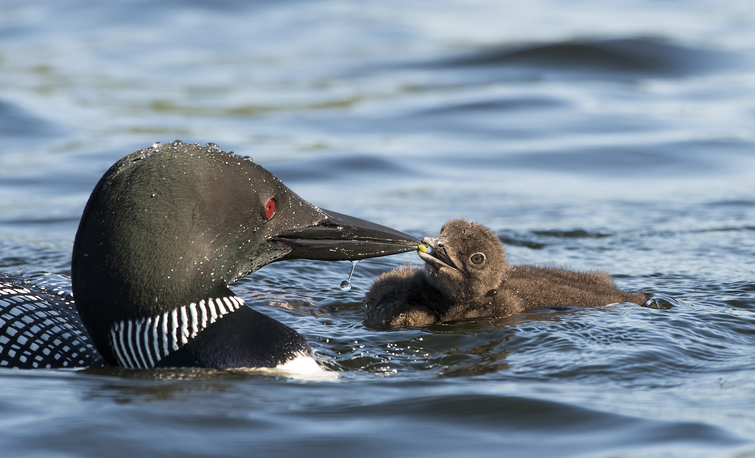 Common loon and chick Chris Pepper