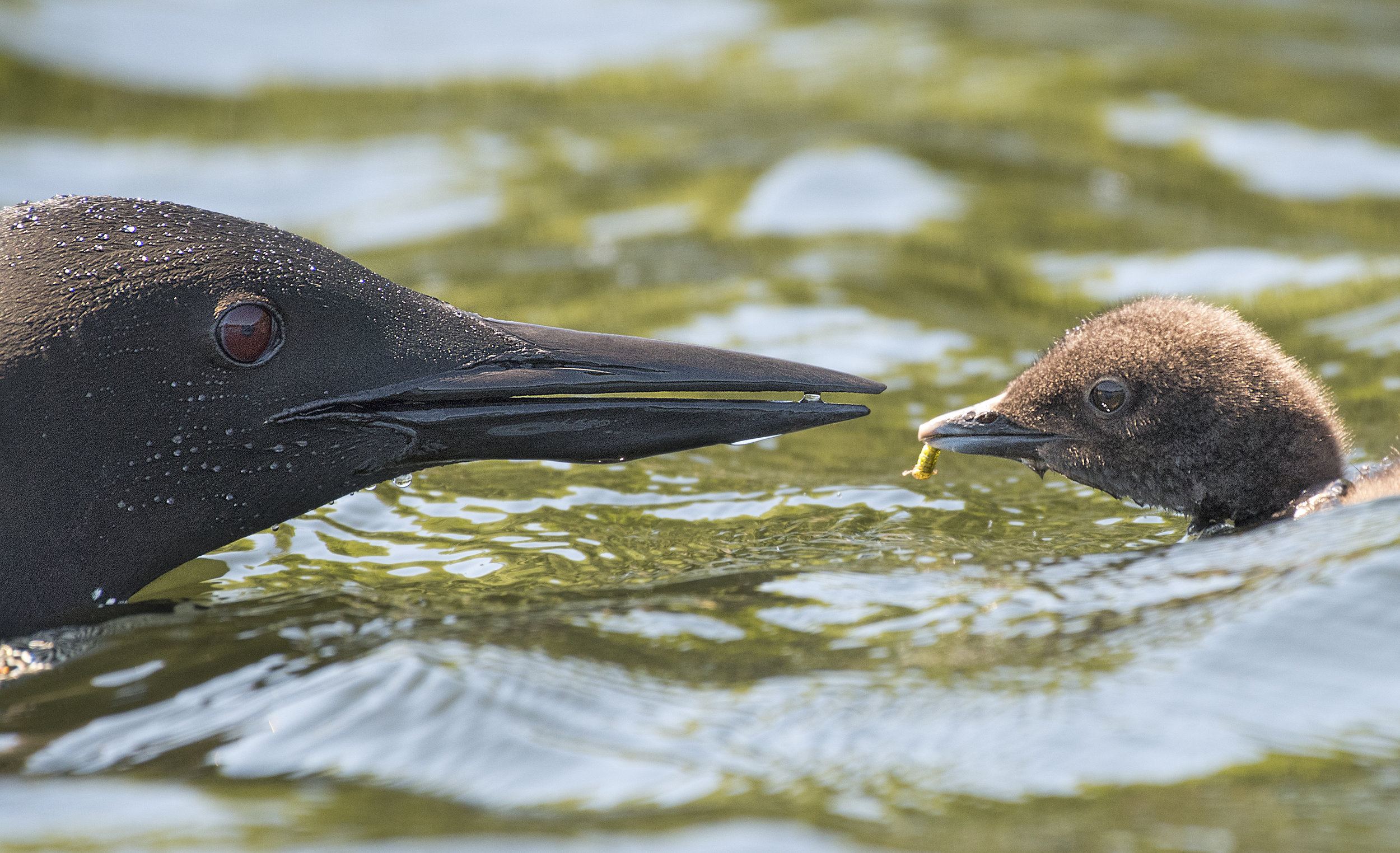 Head shoot of a loon and chick