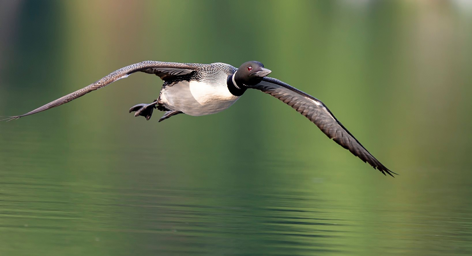 Common loon landing by Kevin K Pepper