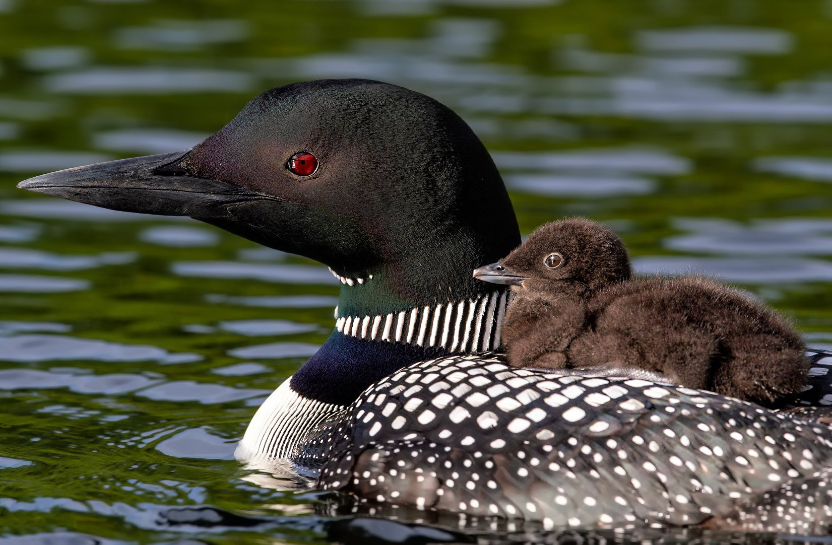 Common loon mom and chick