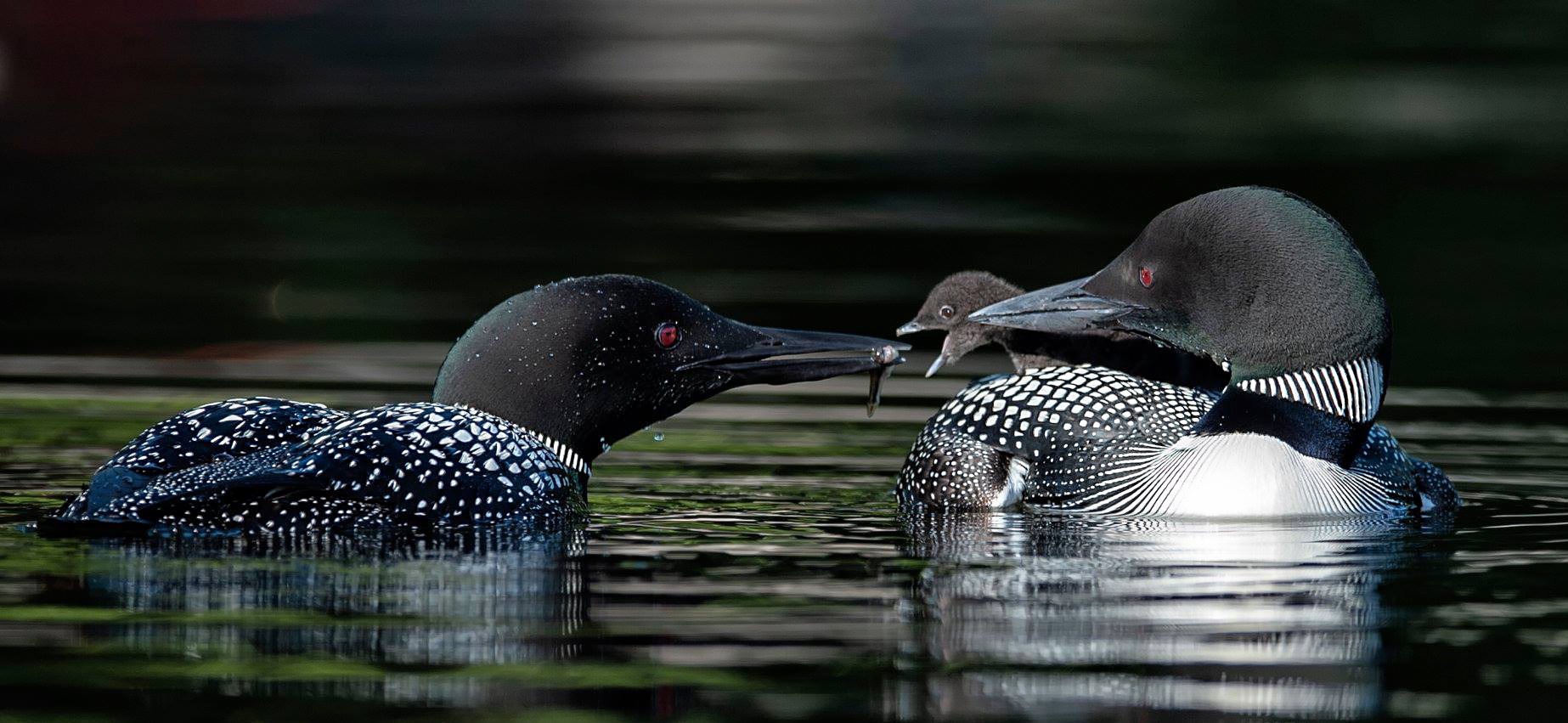 Common loon Family