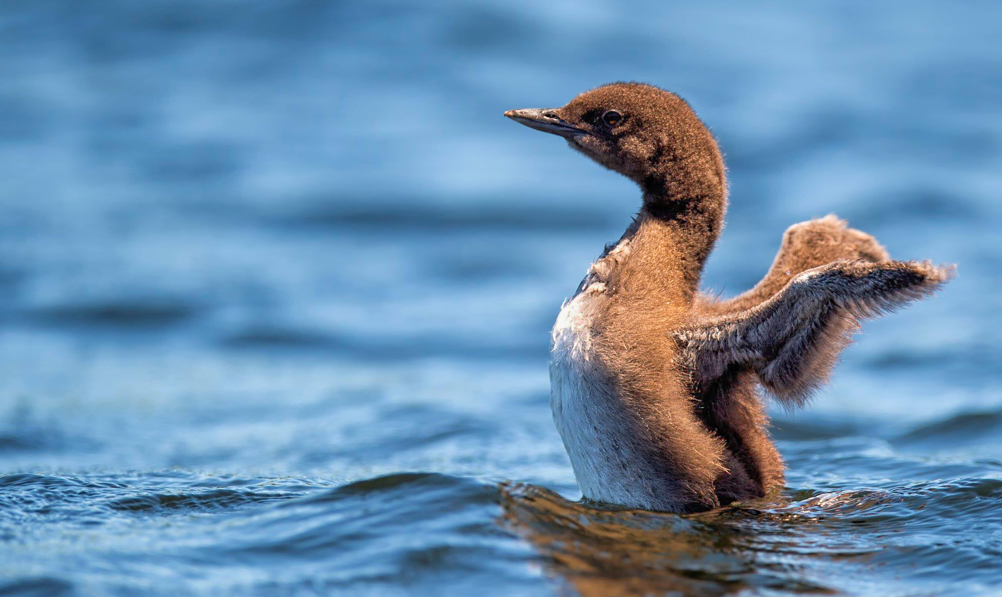 Common Loon chick wing flap