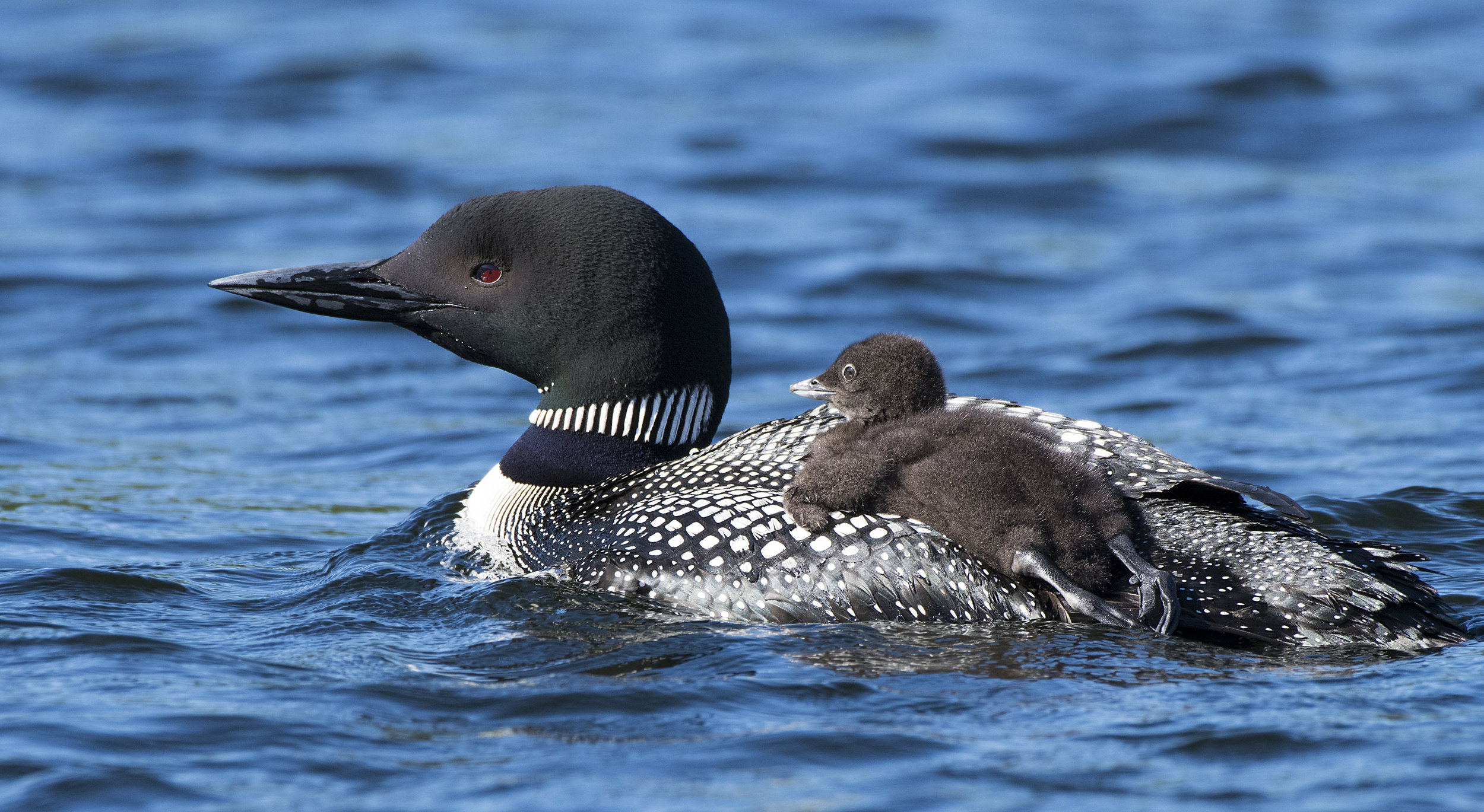 Common Loon Mom and chick by Chris Pepper