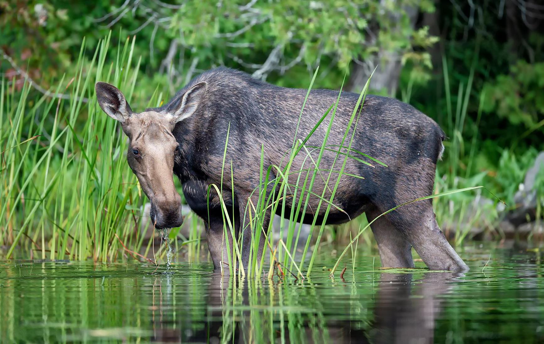 Moose on the lake