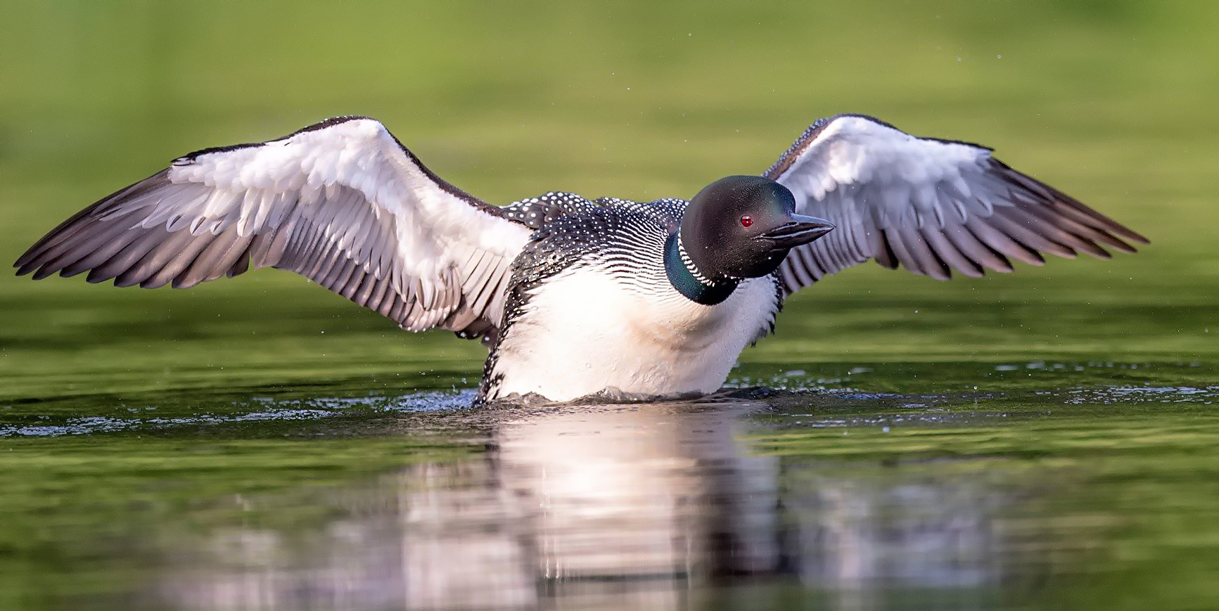 Common Loon lift off
