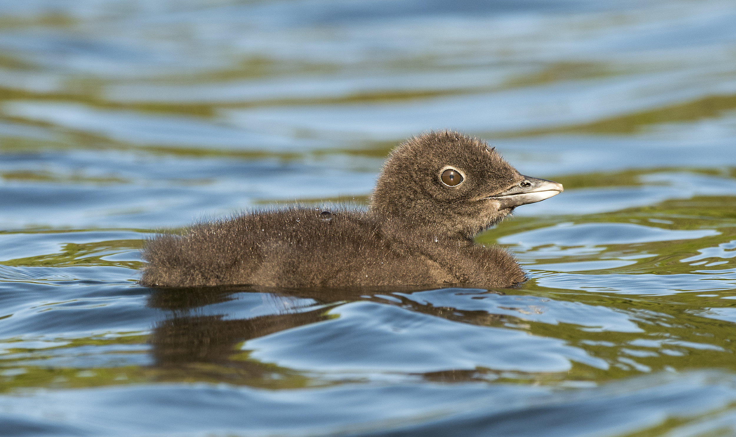 Bucket List Common Loon chick tours