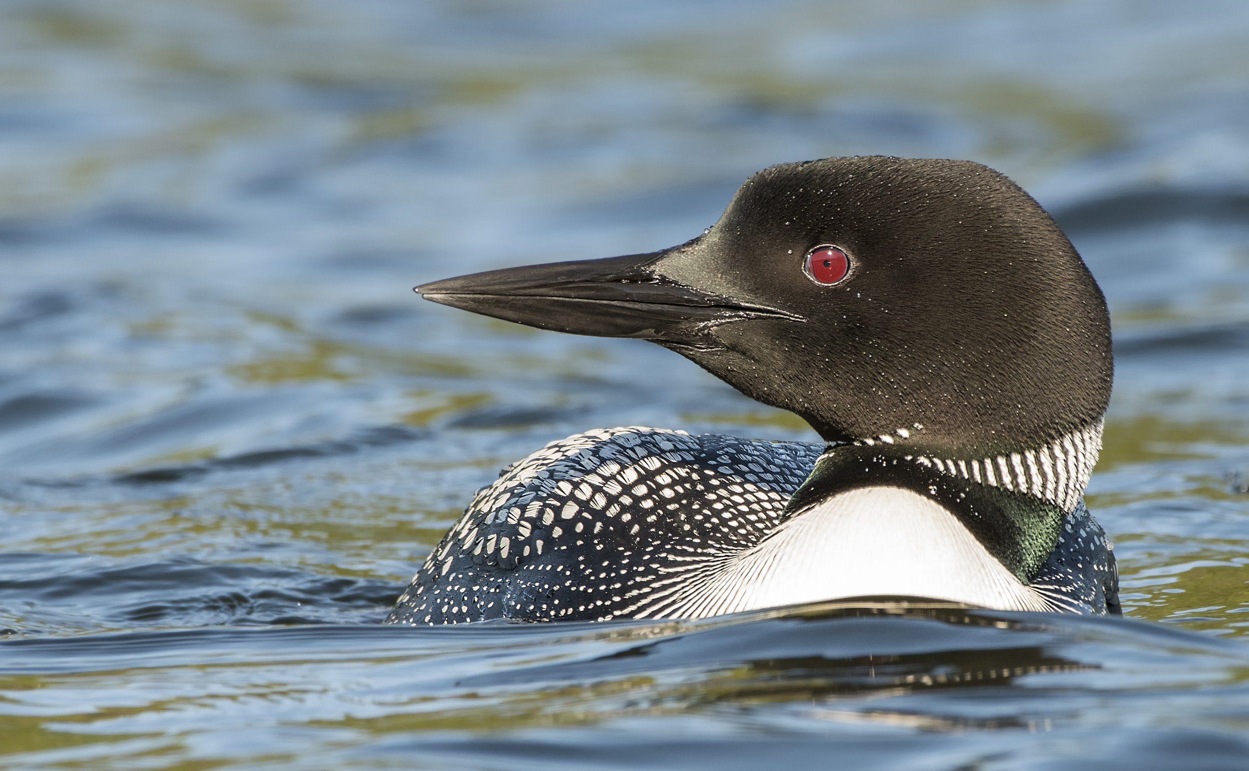 Common loon side profile