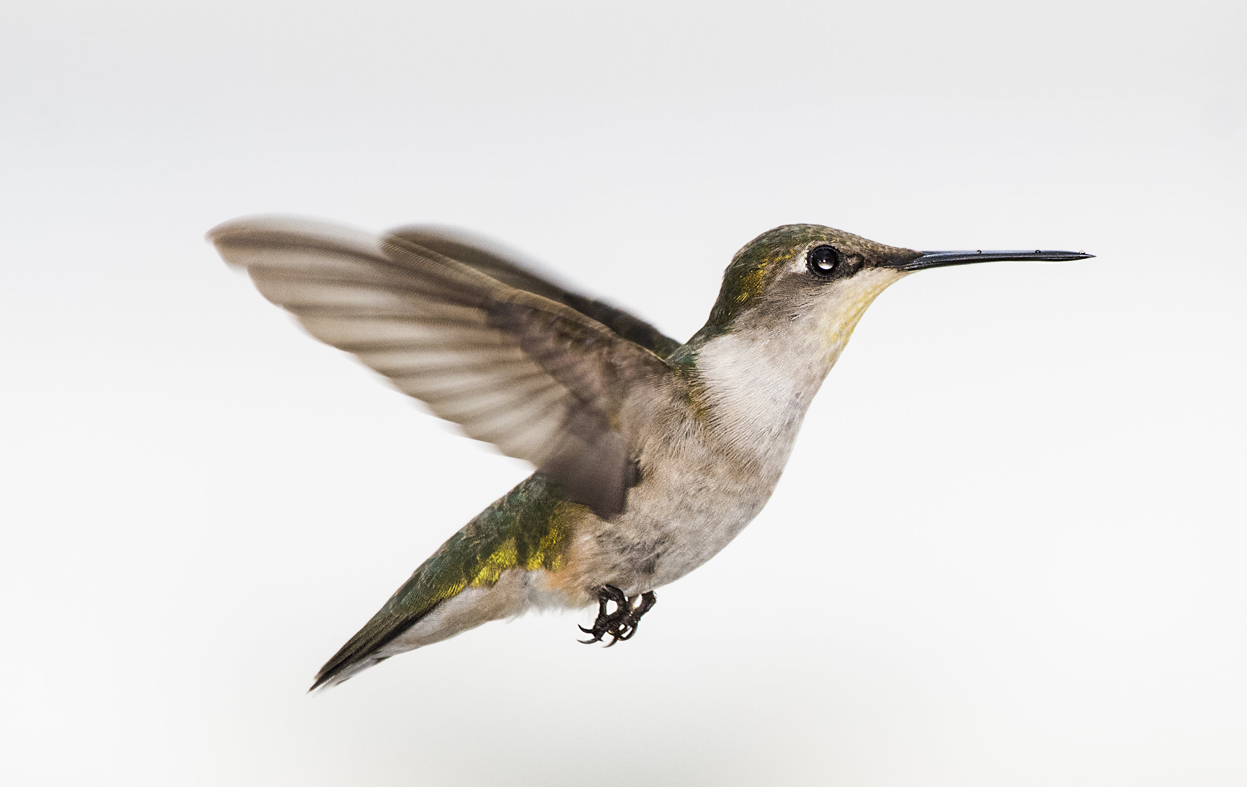 female hummers at dads.jpg