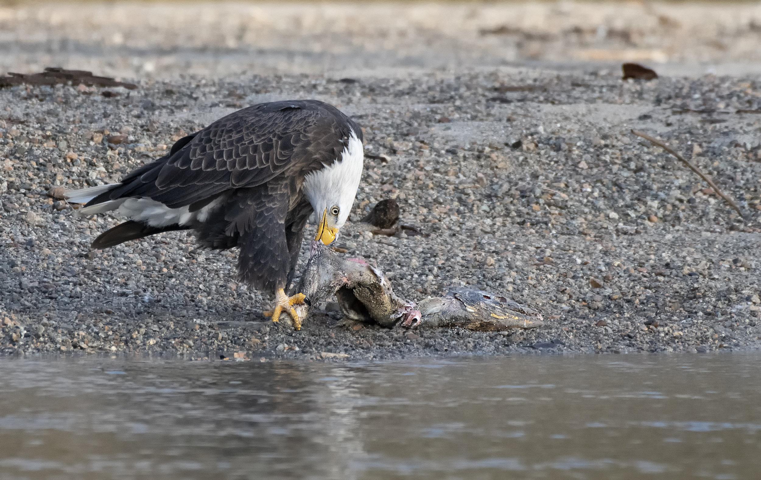 Eagle breakfast.jpg