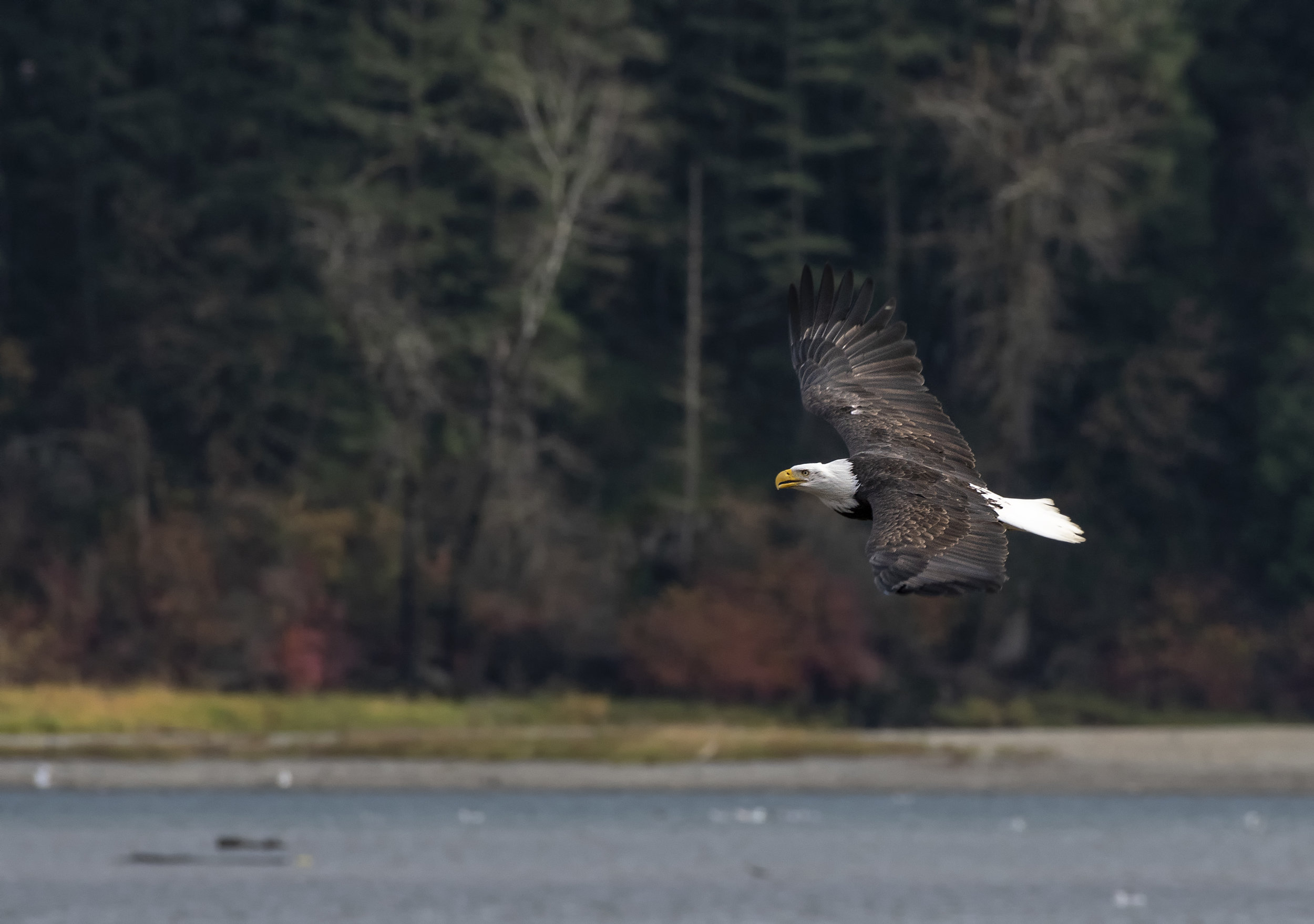 eagle flyby the pavallian .jpg