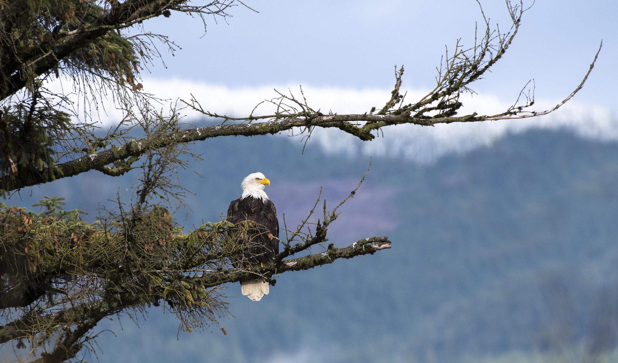 Eagle in the moutian tree backdrop.jpg