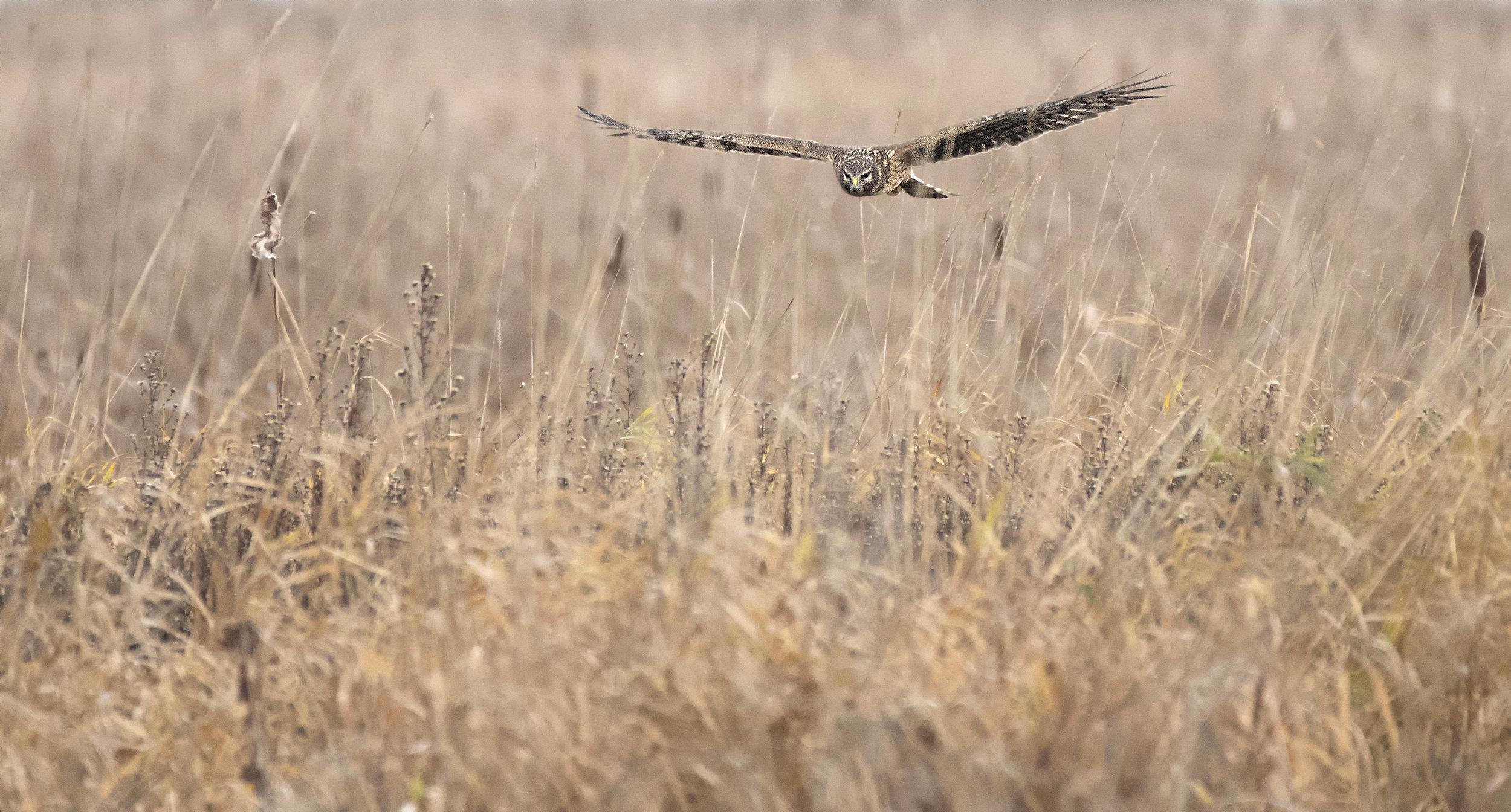 Harrier hunting in the field copy.jpg