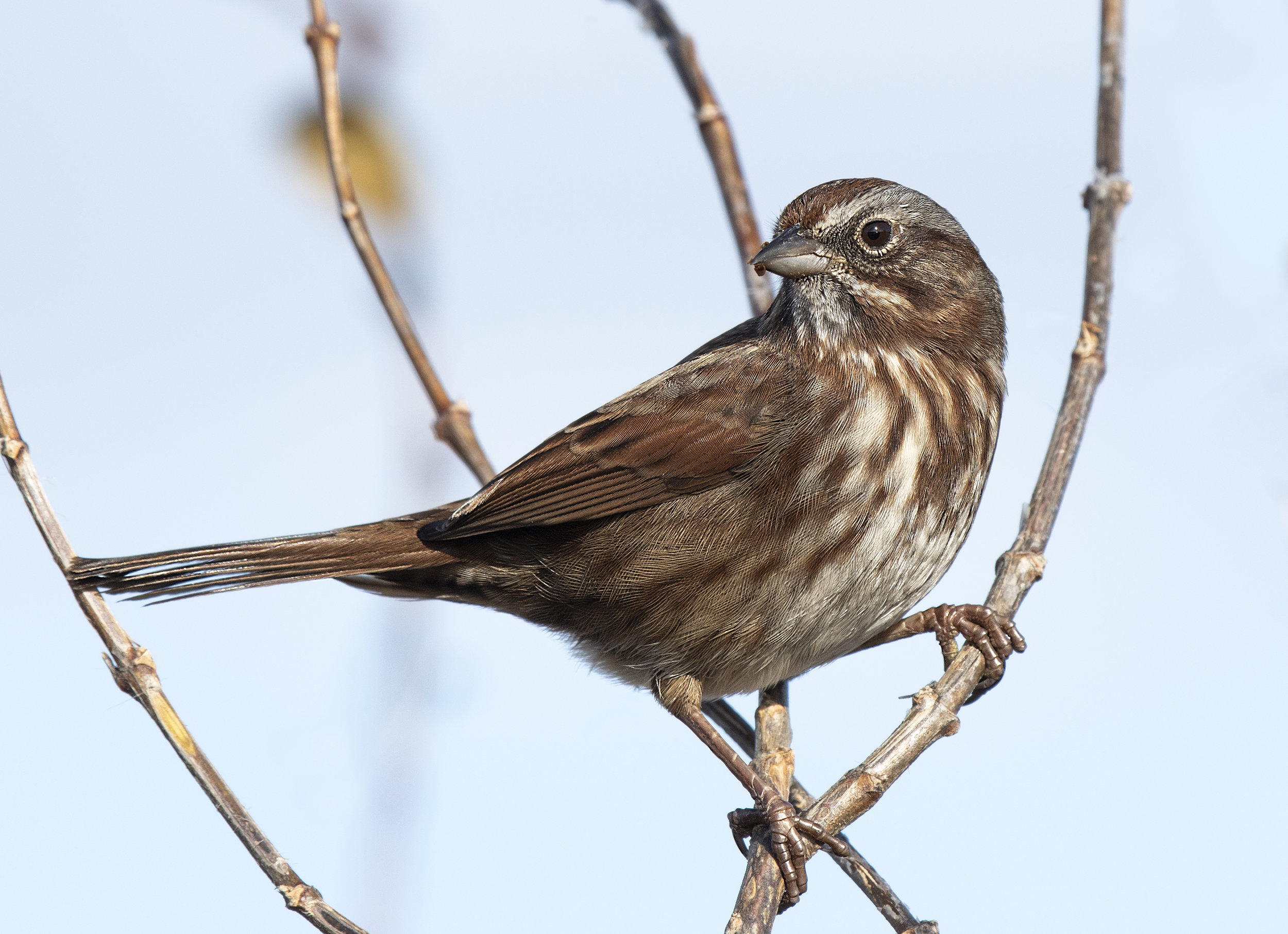 Tree sparrow.jpg