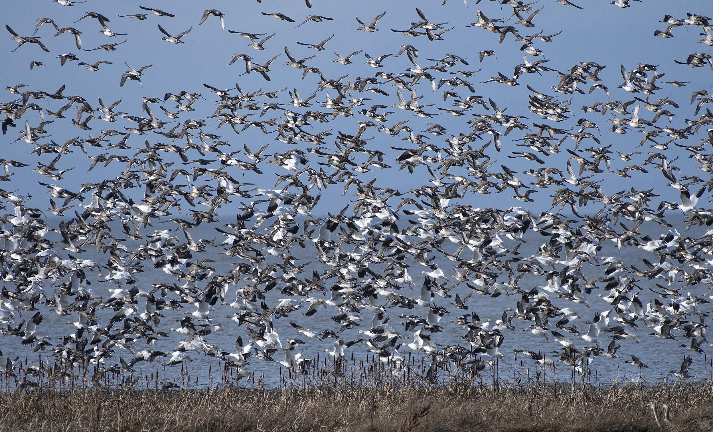 mallards pintail widgeon snow geese.jpg