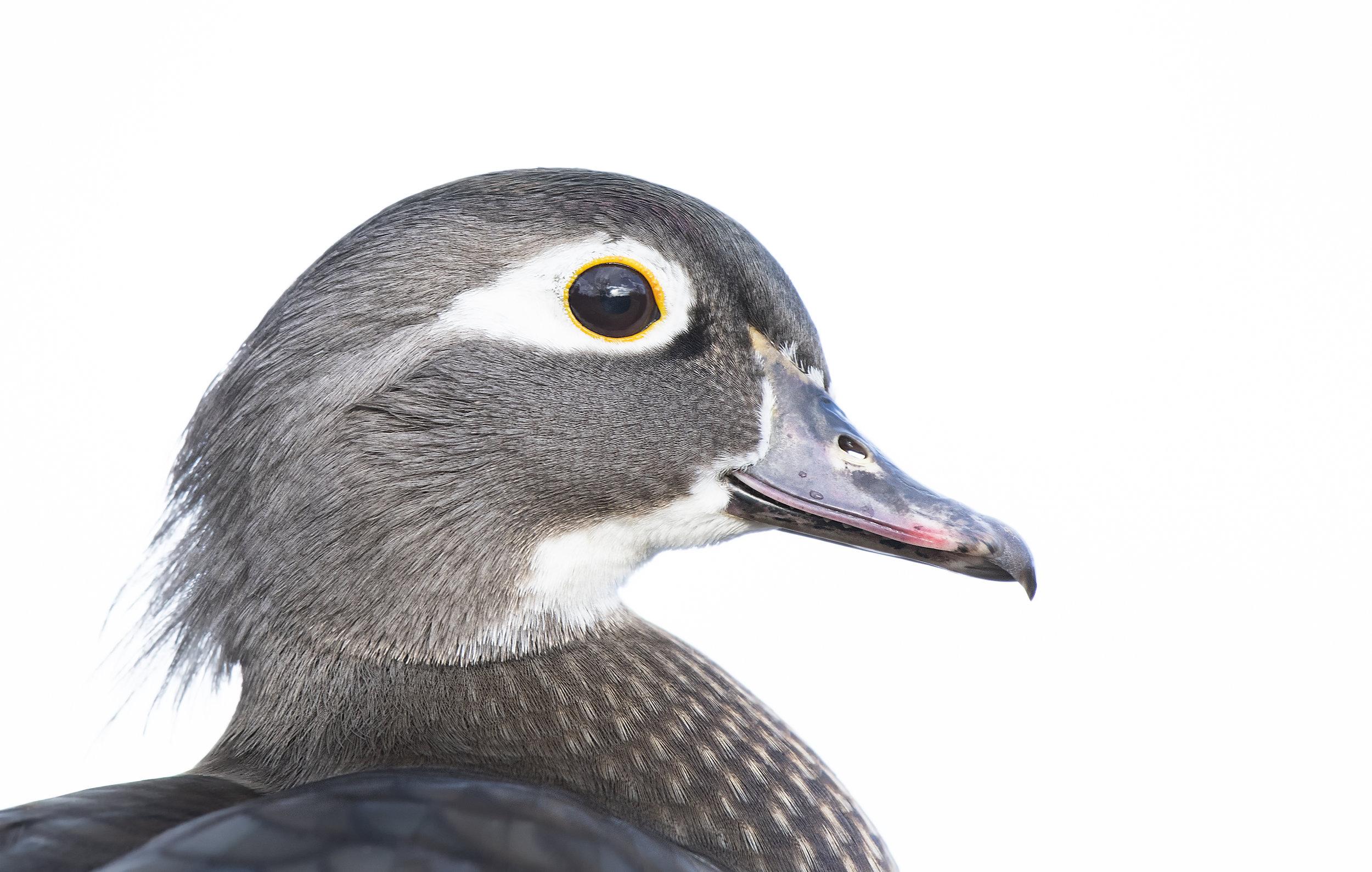 Female wood duck.jpg