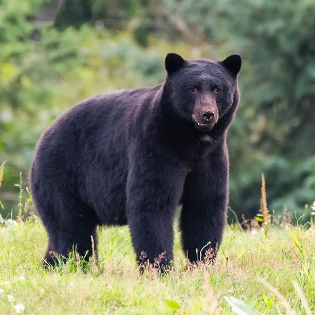 Nice big male black bear from the grizzly bear workshop. After dinner we head out to a location every night that black bear frequent. This year we found 12 in 3 days as an added extra bonus 🤪 #blackbear #bc #savethebears #phototour #bcwildlife #picoftheday