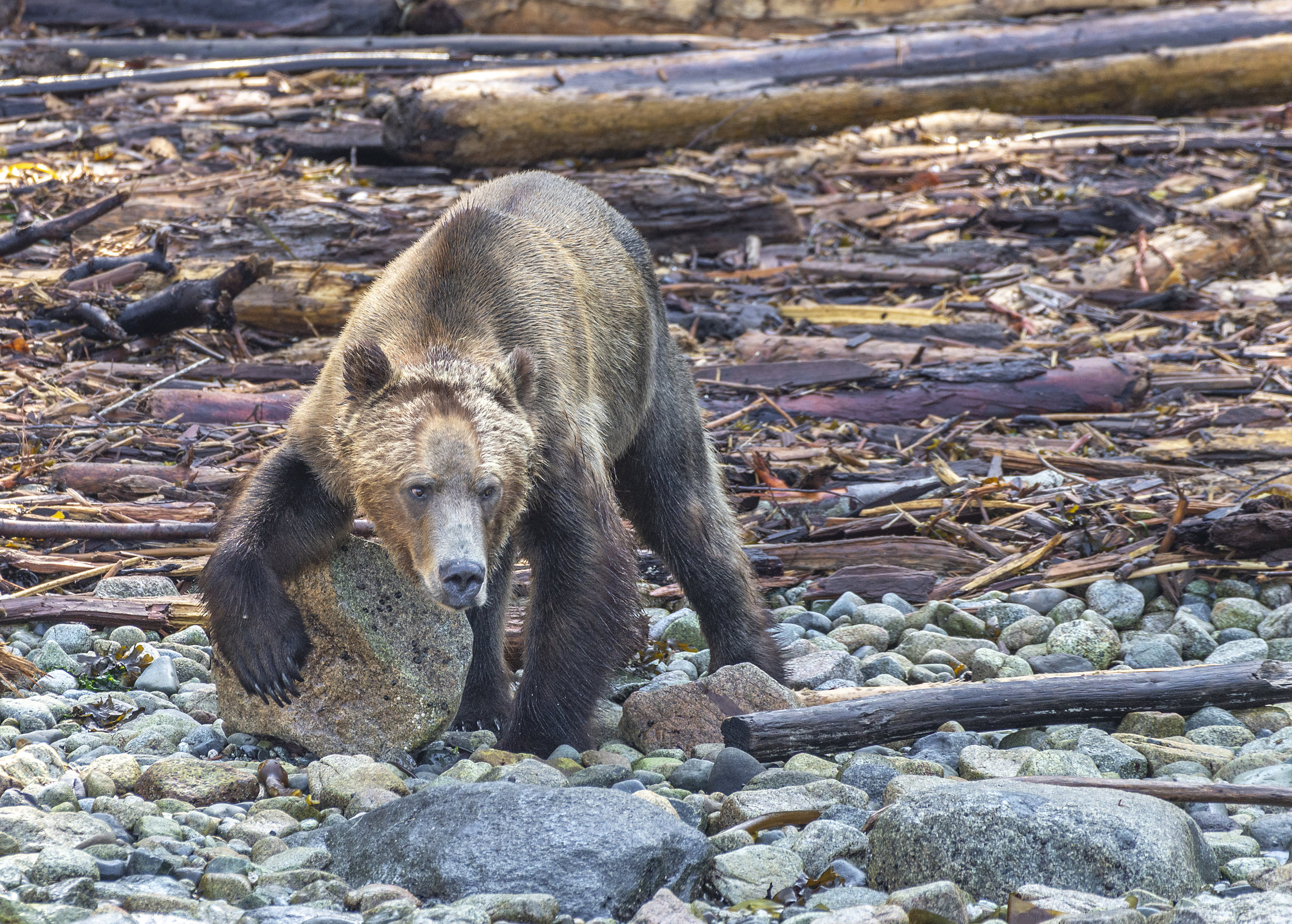Vancouver Island grizzly bear