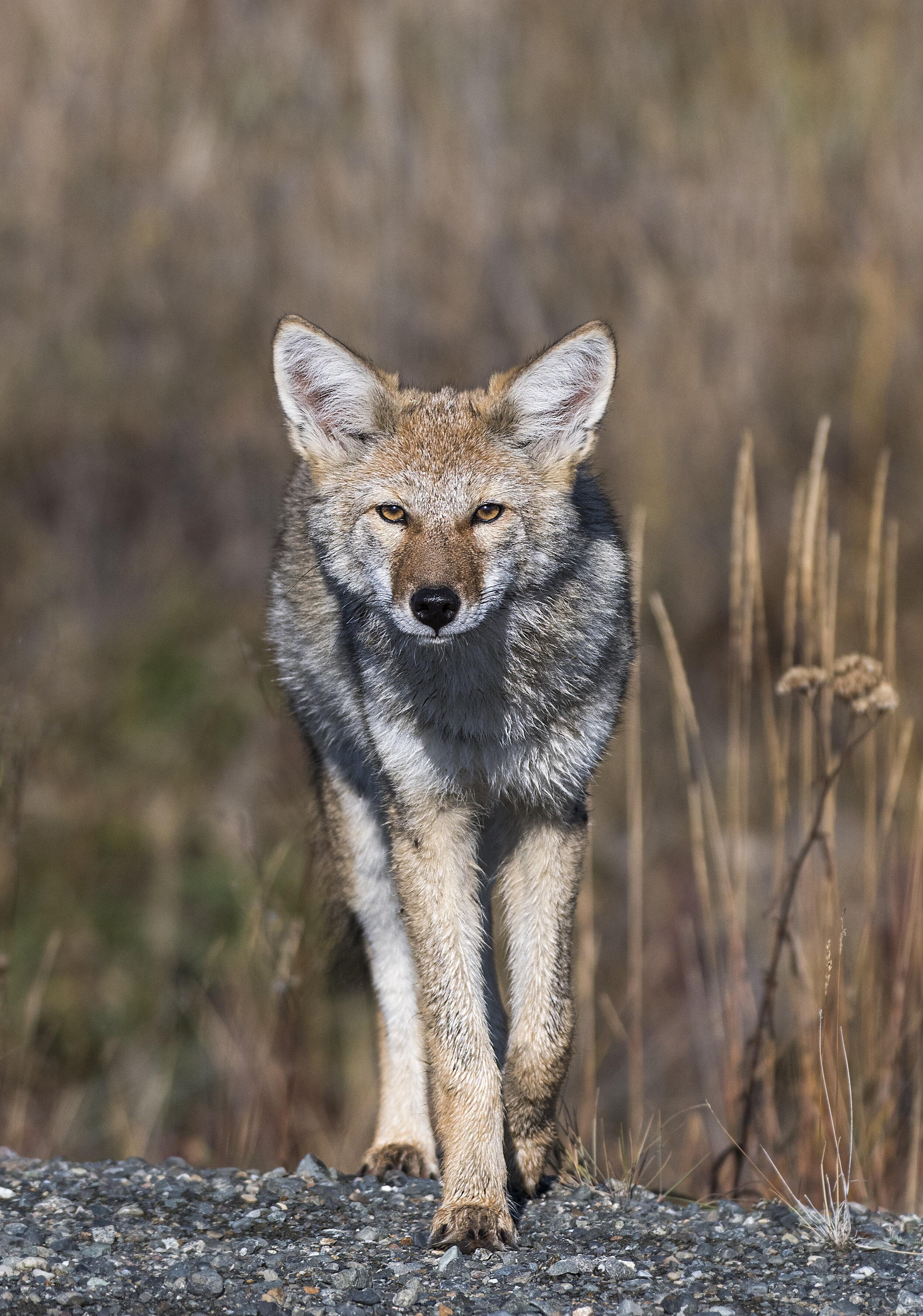 Yukon Coyote