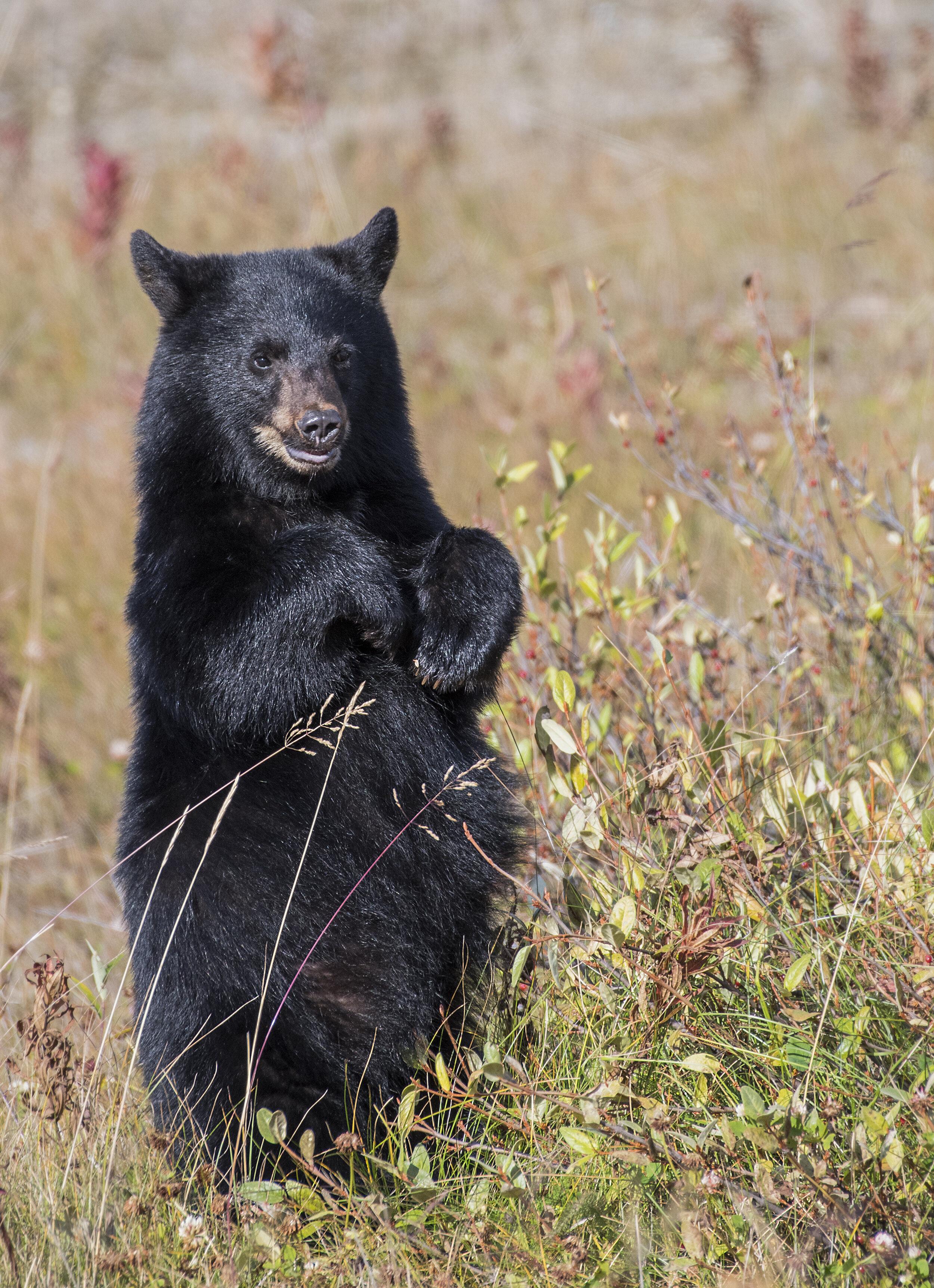 Black Bear in Yukon