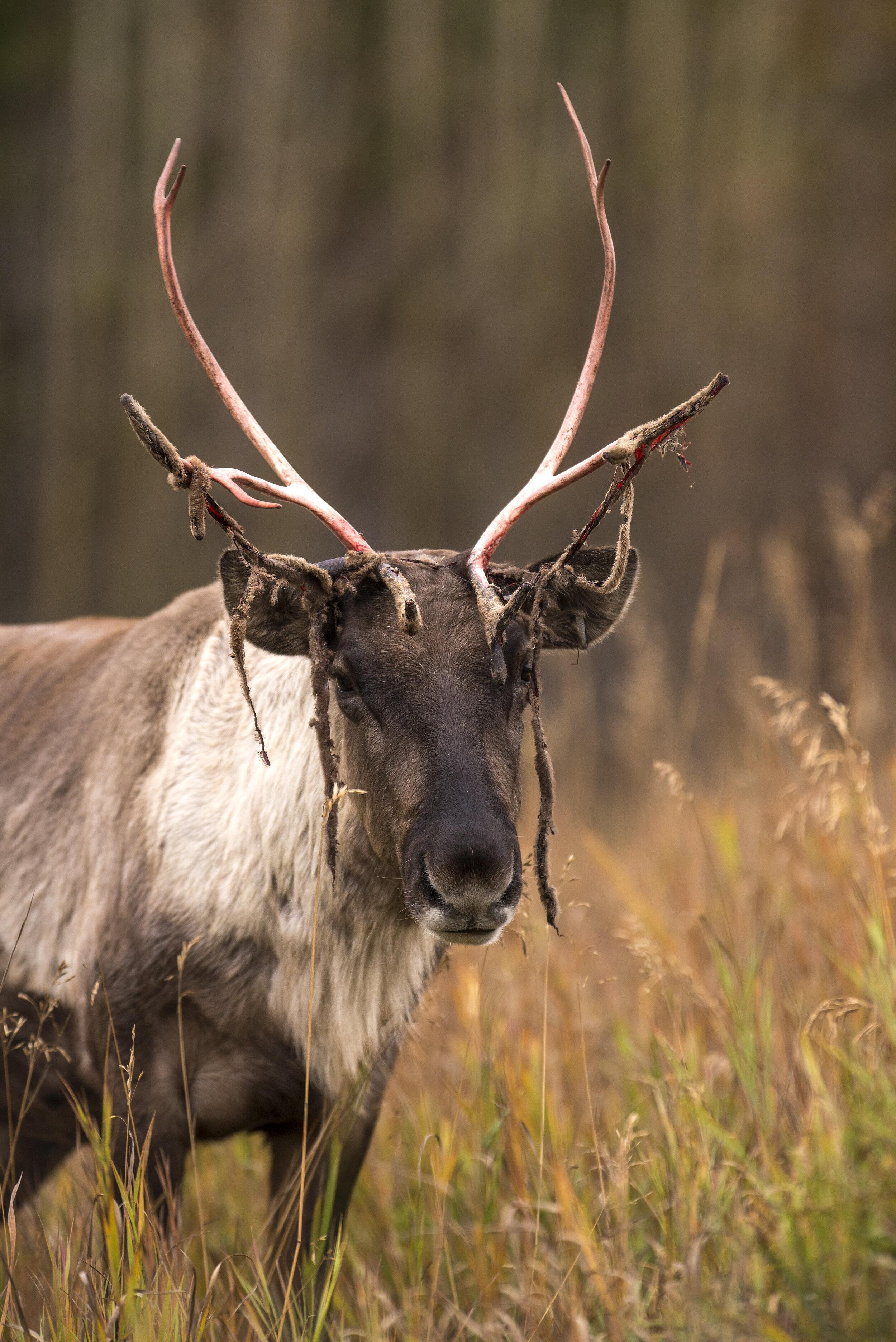 Female caribou in Yukon