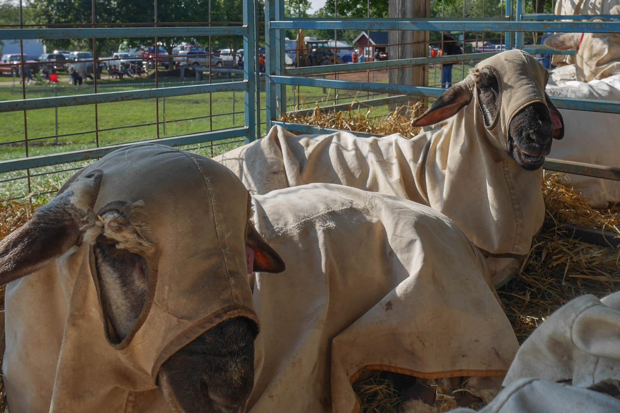 Goshen Fair Goats - Goshen CT