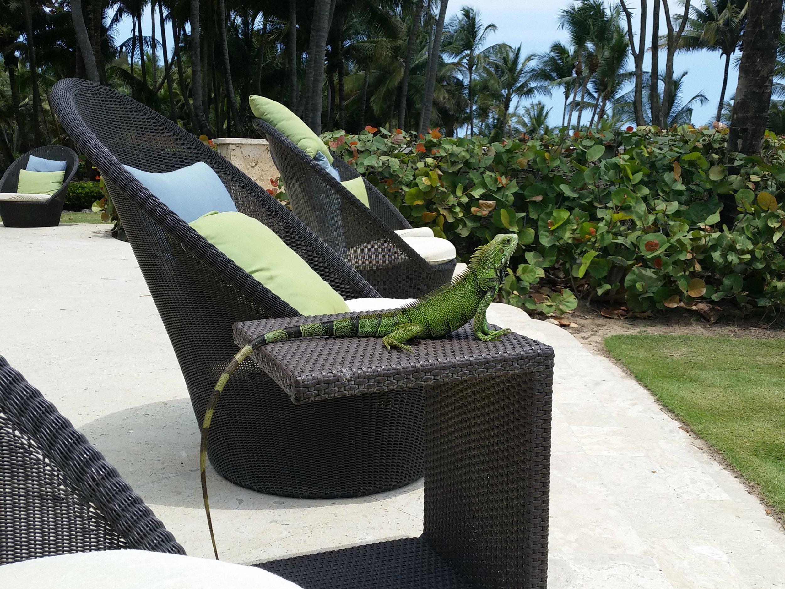 Iguana - Bahia Beach, PR