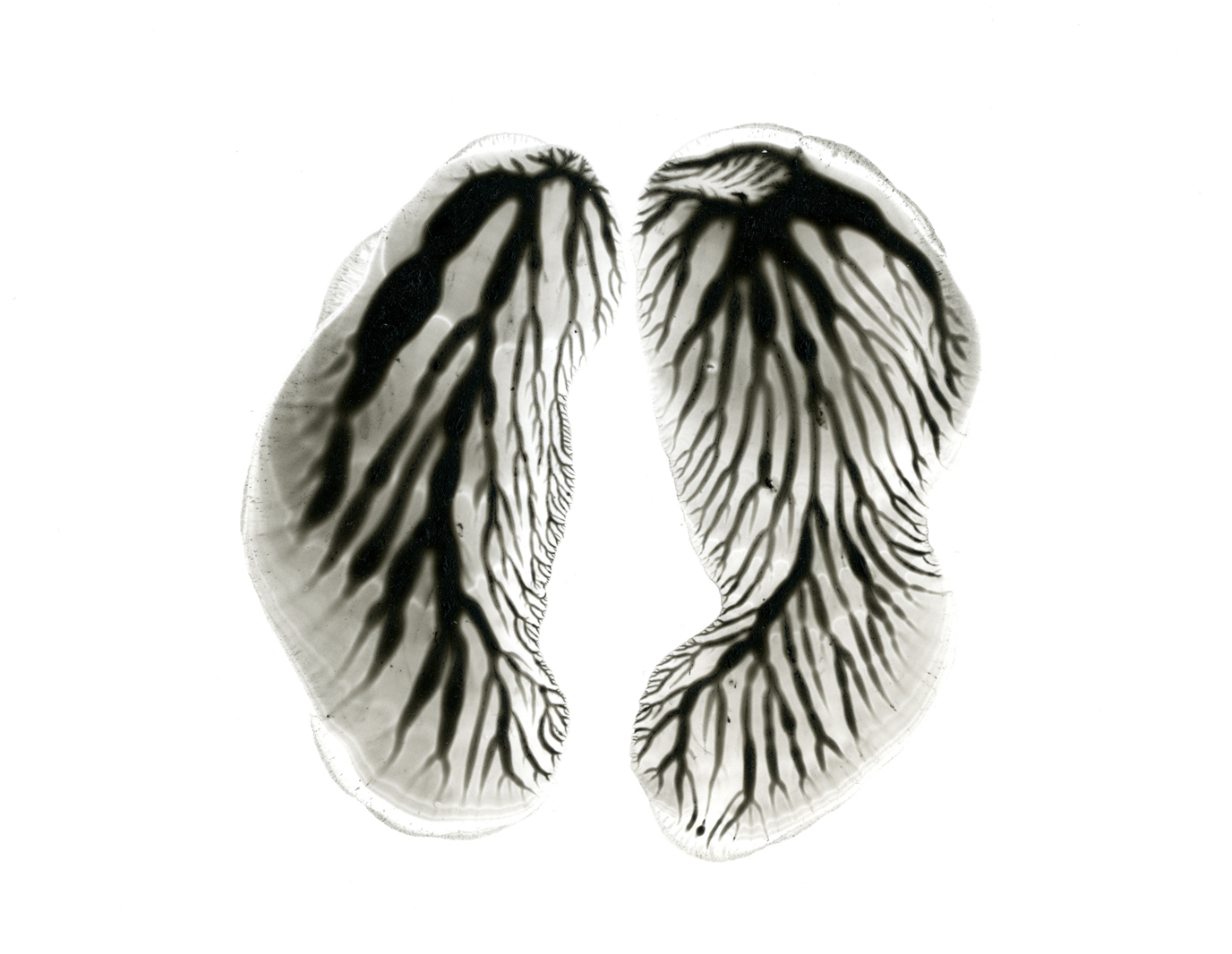 Lungs 1001 300 closeup.jpg