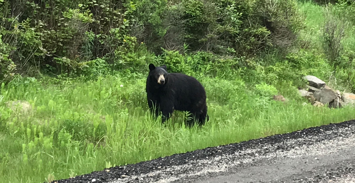 Roadside bear!