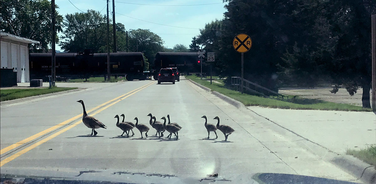 Stopped by geese and a train along the river road